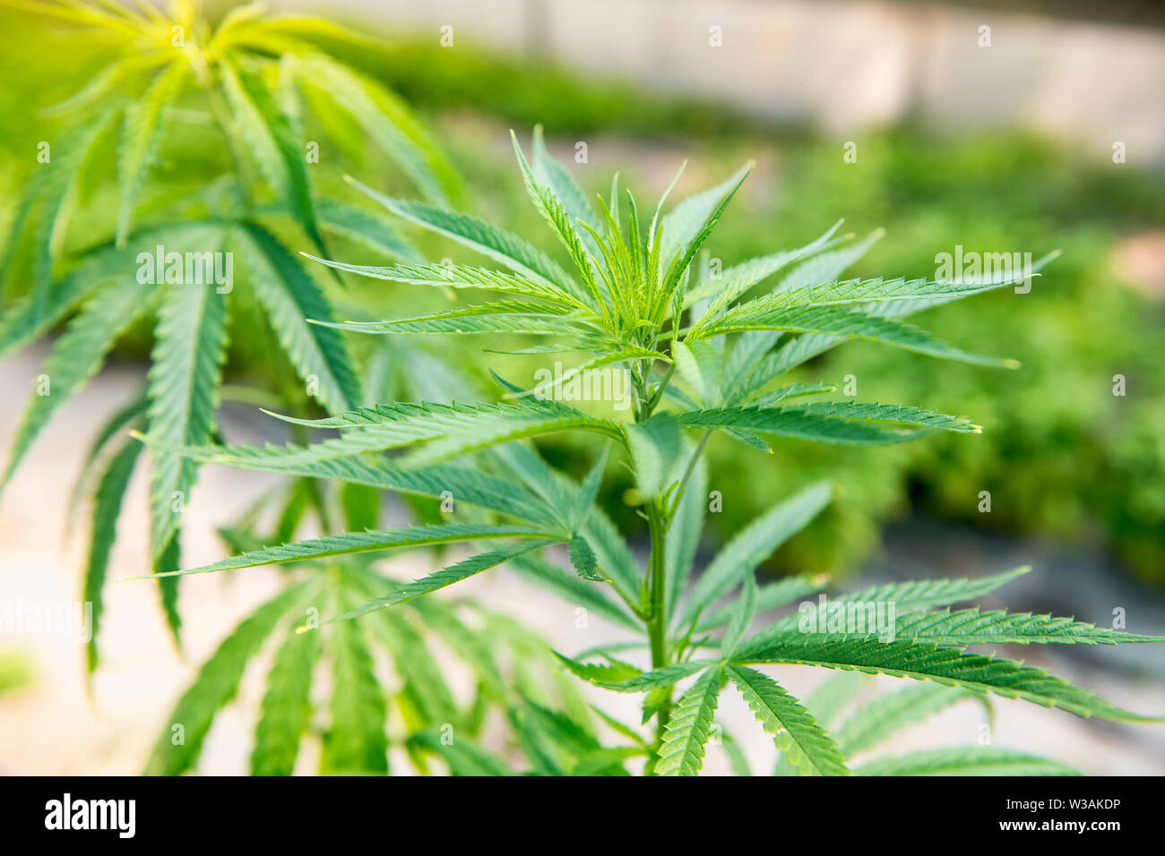 Close up on the leaves of a cannabis plant, Cannabis sativa, growing outdoors which yields popular recreational psychoactive drugs - Stock Image