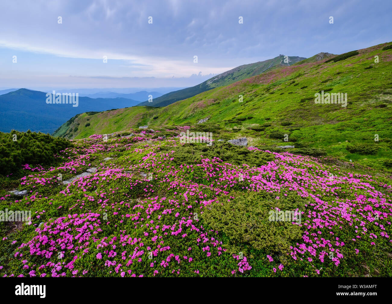 Pink rose rhododendron flowers (in front) on summer mountain slope and Pip Ivan Mount peak behind. Carpathian, Chornohora, Ukraine. - Stock Image
