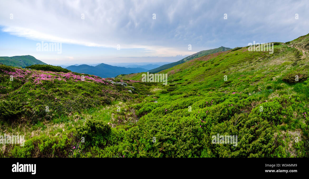 Pink rose rhododendron flowers on summer mountain slope and Pip Ivan Mount peak behind. Carpathian, Chornohora, Ukraine. - Stock Image