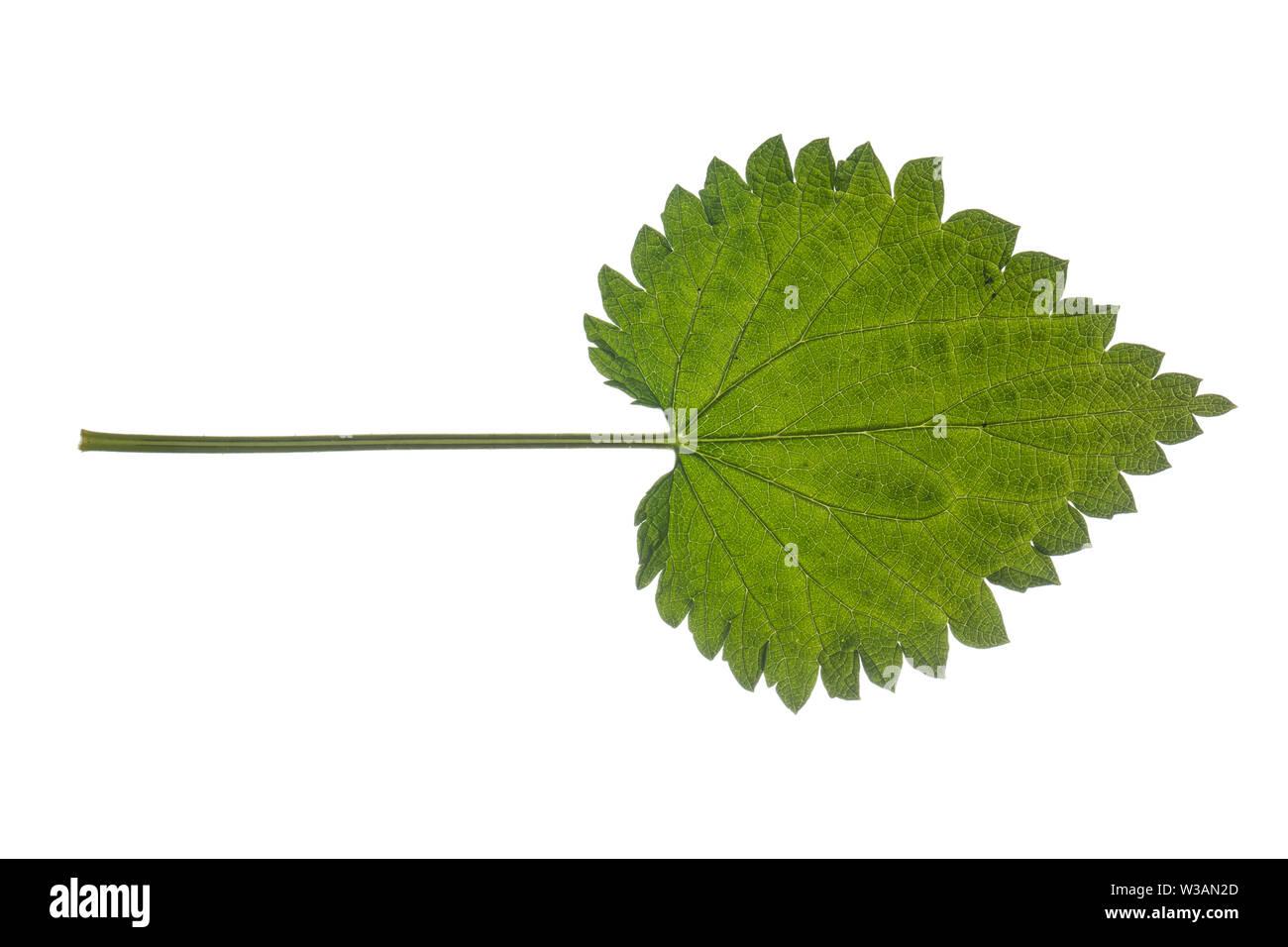 Brennnessel, Große Brennnessel, Brennessel, Urtica dioica, Stinging Nettle, common nettle, nettle, nettle leaf, La grande ortie, ortie dioïque, ortie - Stock Image