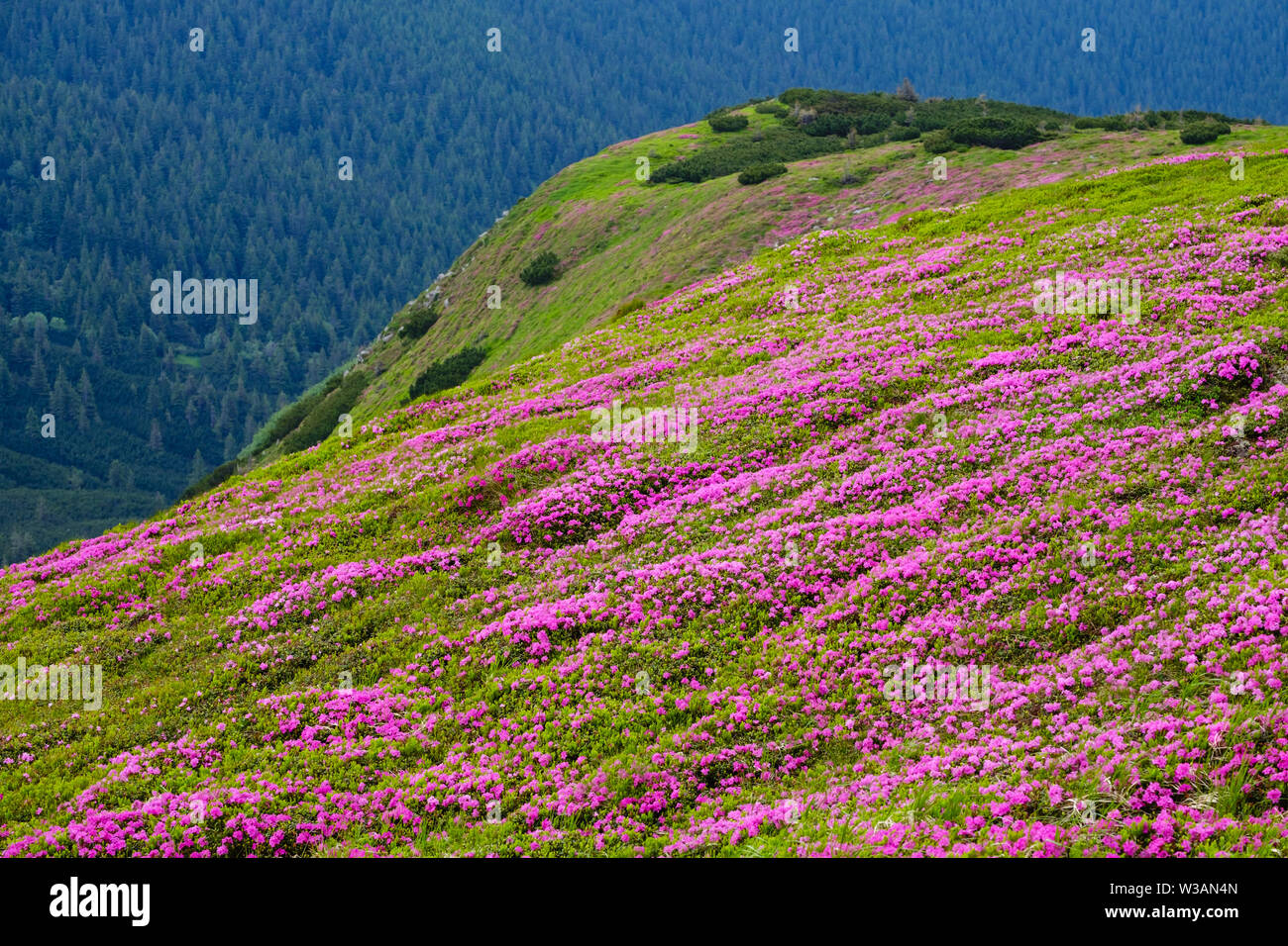 Pink rose rhododendron flowers (in front) on summer evening mountain slope. Carpathian, Chornohora, Ukraine. - Stock Image