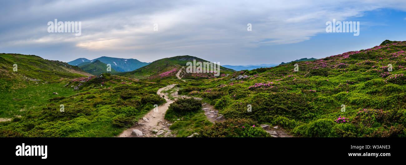 Pink rose rhododendron flowers on summer evening mountain slope. Carpathian, Chornohora, Ukraine. - Stock Image