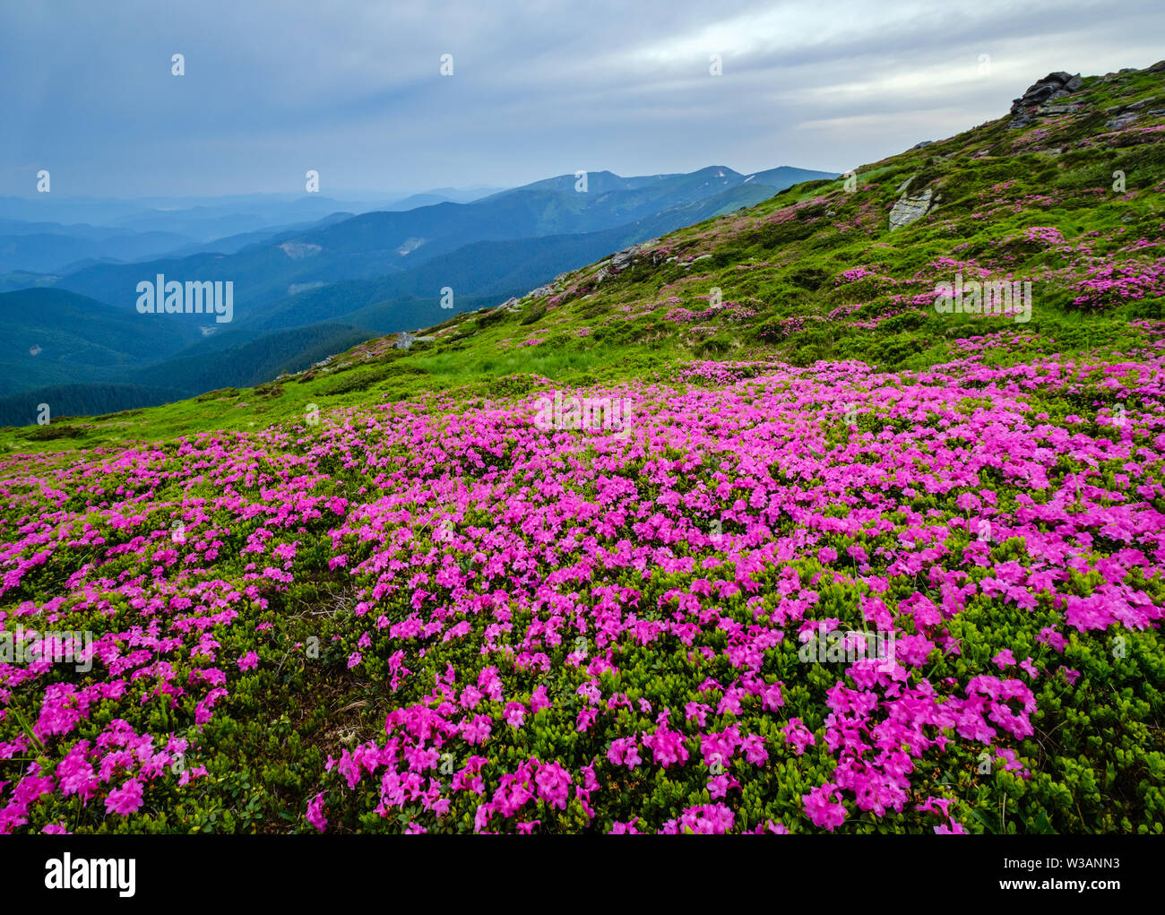 Pink rose rhododendron flowers (in front) on summer mountain ridge, Carpathian, Chornohora, Ukraine. - Stock Image