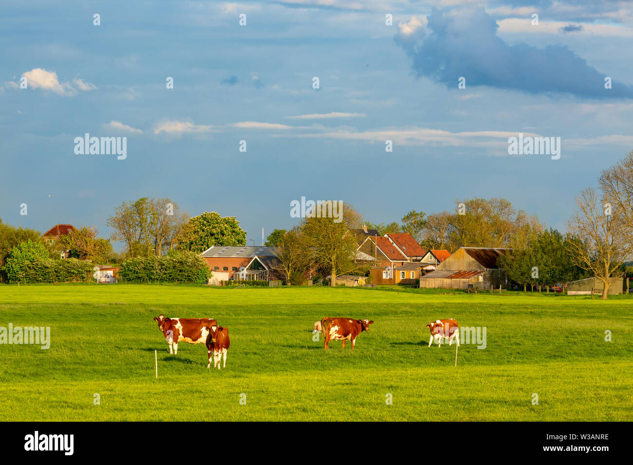 cows cattle in a a a dutch ranch grazing on lush green grass - Stock Image