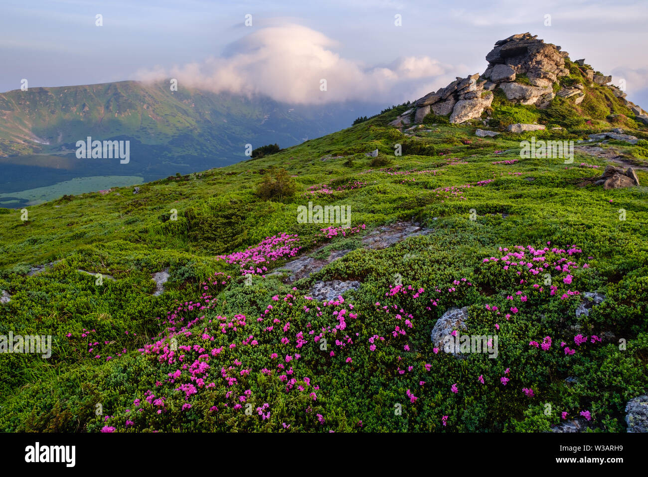 Pink rose rhododendron flowers on early morning summer misty mountain slope with clouds and fog. Carpathian, Ukraine. - Stock Image