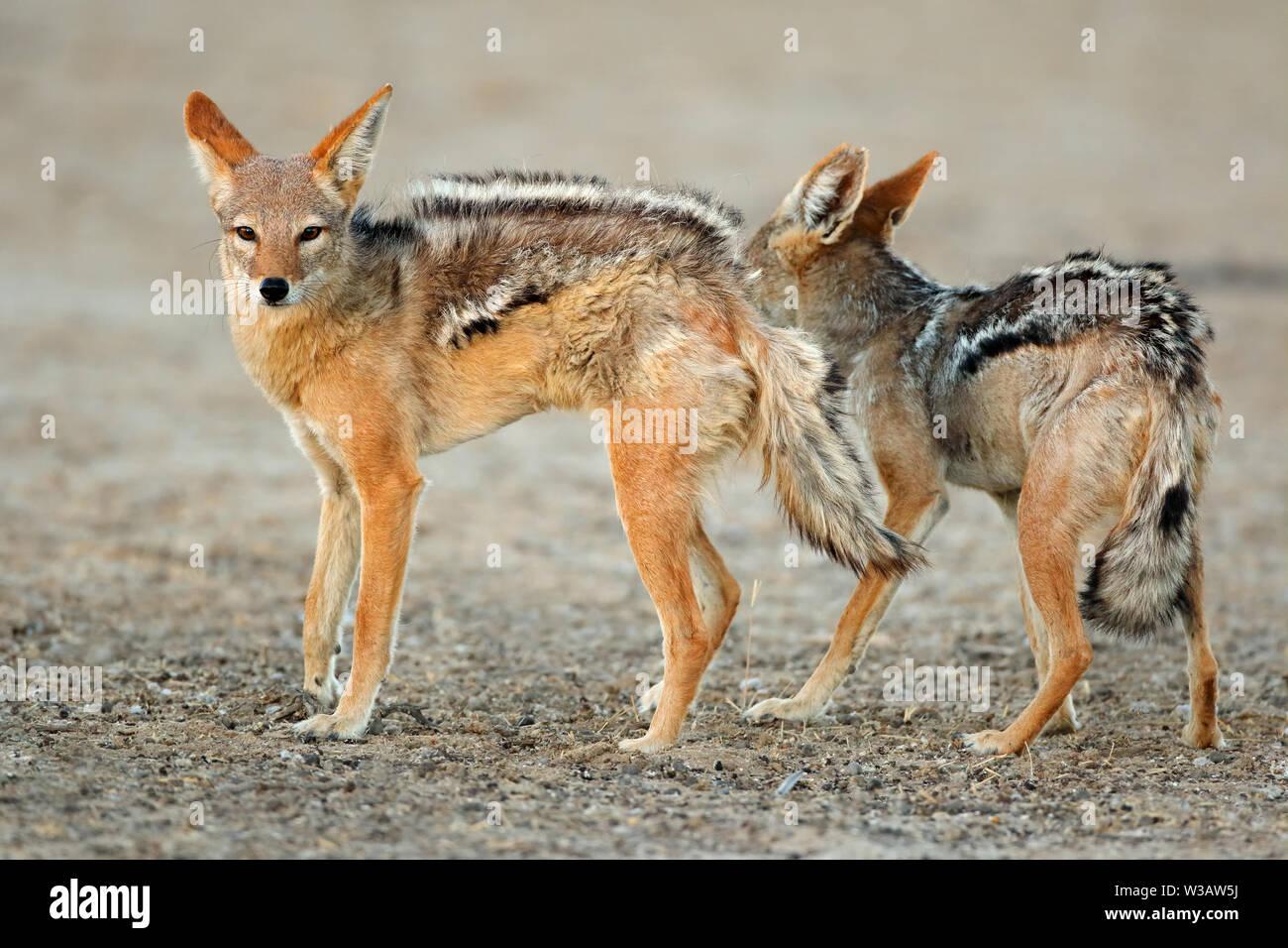 A pair of black-backed jackals (Canis mesomelas), Kalahari desert, South Africa Stock Photo