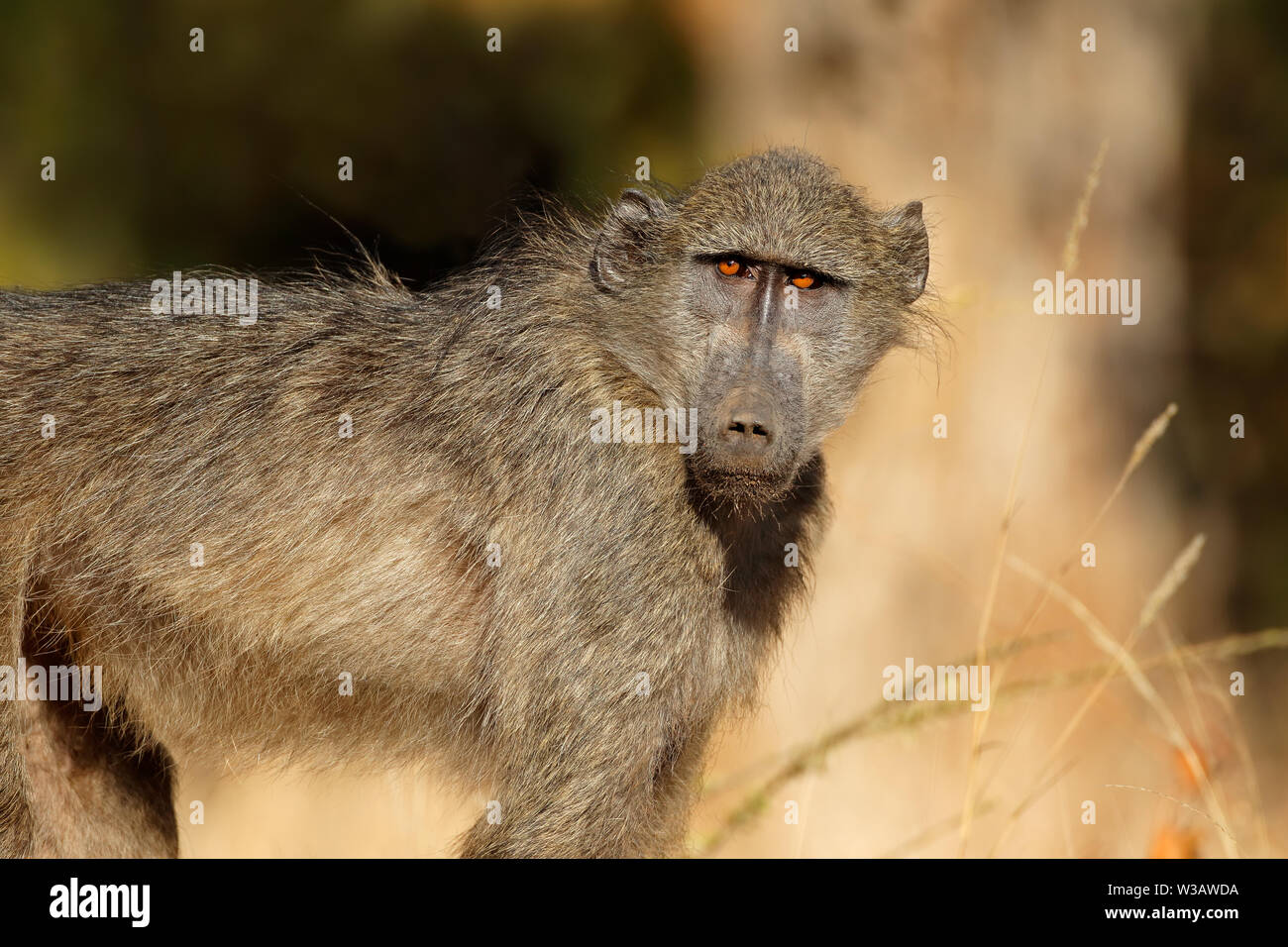 Young chacma baboon (Papio ursinus), Kruger National Park, South Africa Stock Photo