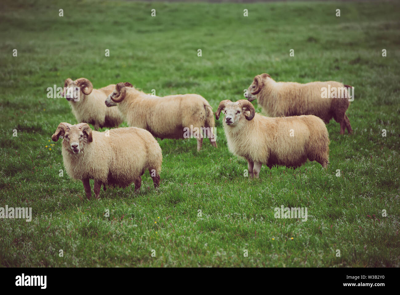 Sheep grazing in Iceland - Stock Image
