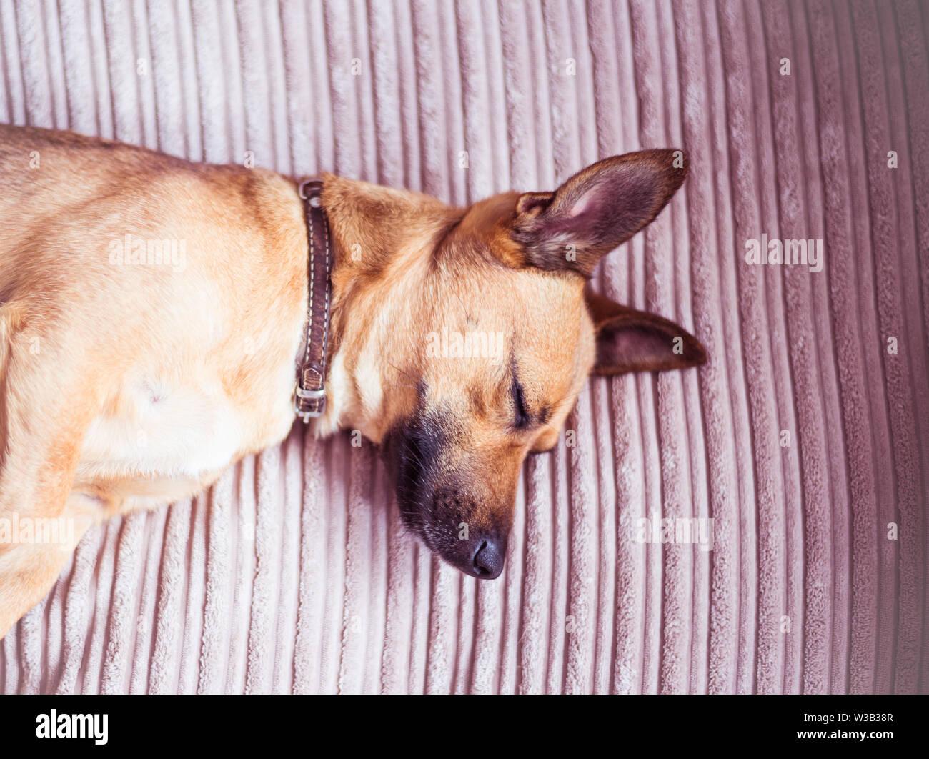 Cute dog sleeping on a sofa - Stock Image