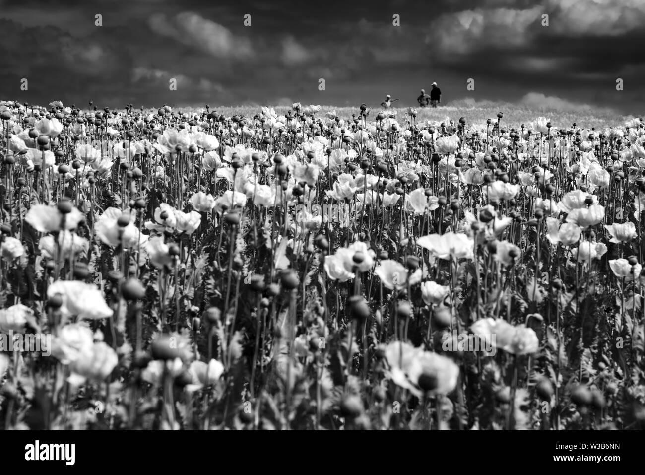 Opium poppy field, Germerode, Werra-Meissner district, Hesse, Germany Stock Photo