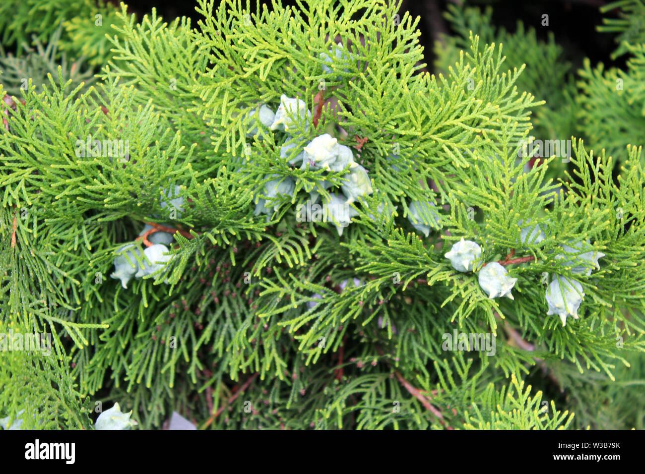 Cupressus leylandii or Leylan cypress fruits close up Stock Photo