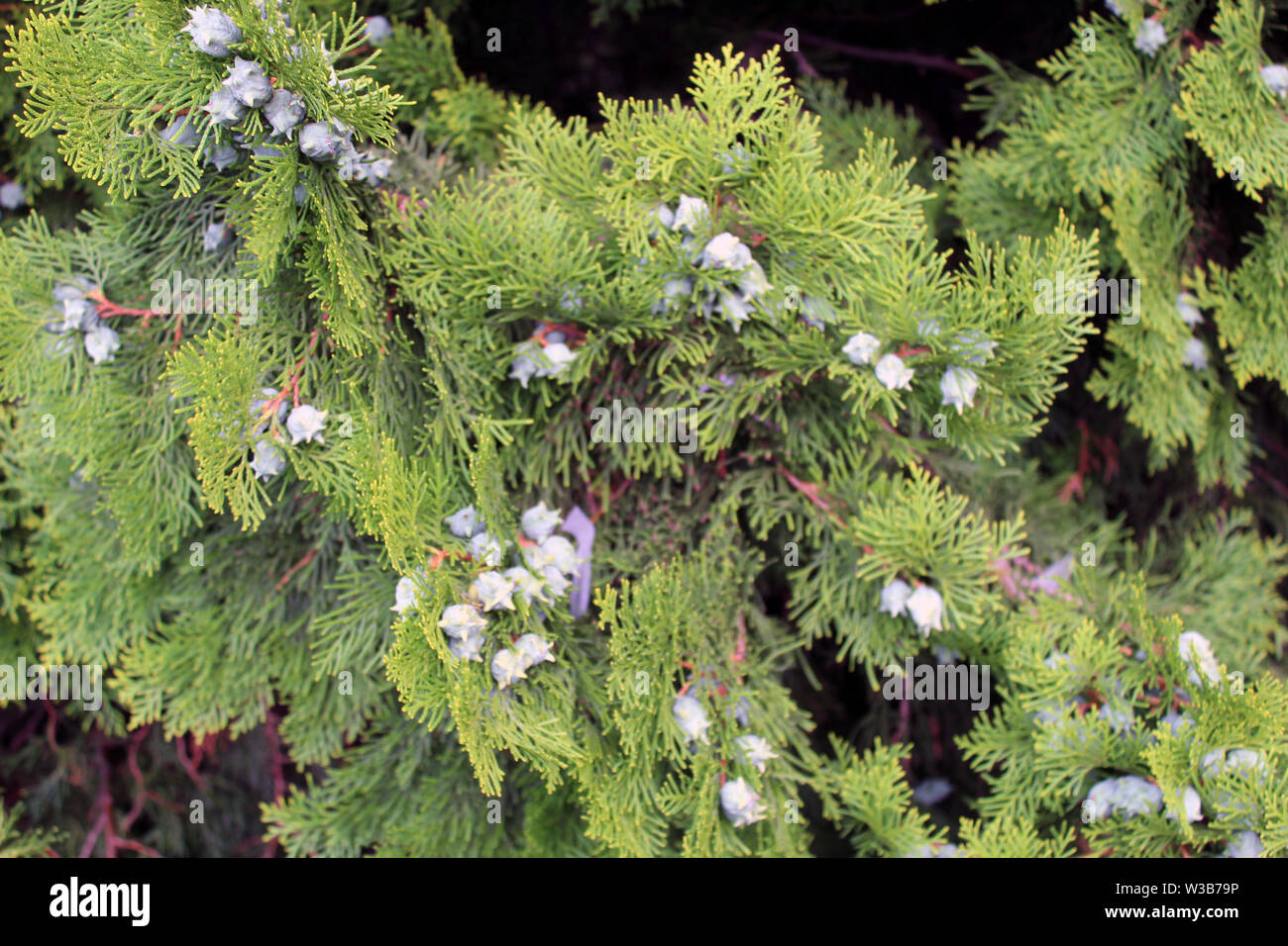 Cupressus leylandii or Leylan cypress fruits close up Stock Photo