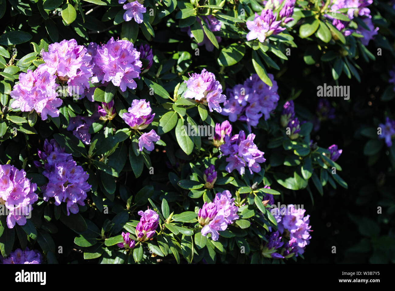 Close up of Catawba rosebay (Rhododendron catawbiense) flower blooming - Stock Image