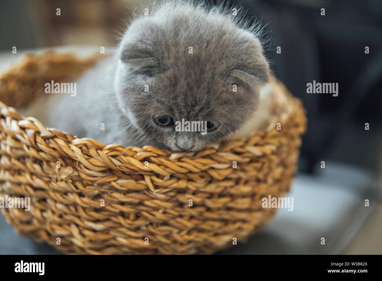 Cute Pet Portrait Beautiful And Fluffy Grey Scottish Fold Cat Baby Scottish Fold Gray Kitten Baby Animal Stock Photo Alamy