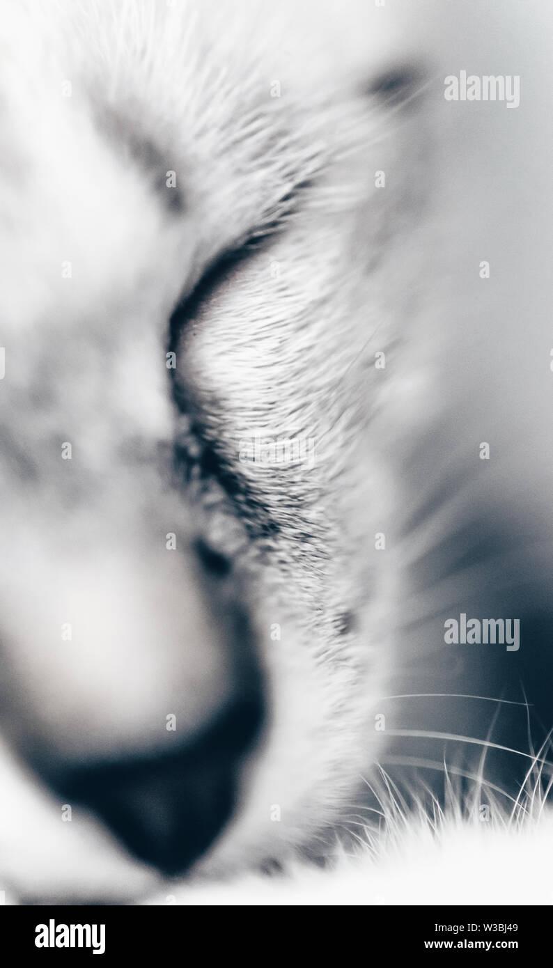 Close-up of sleeping white kitten - Stock Image