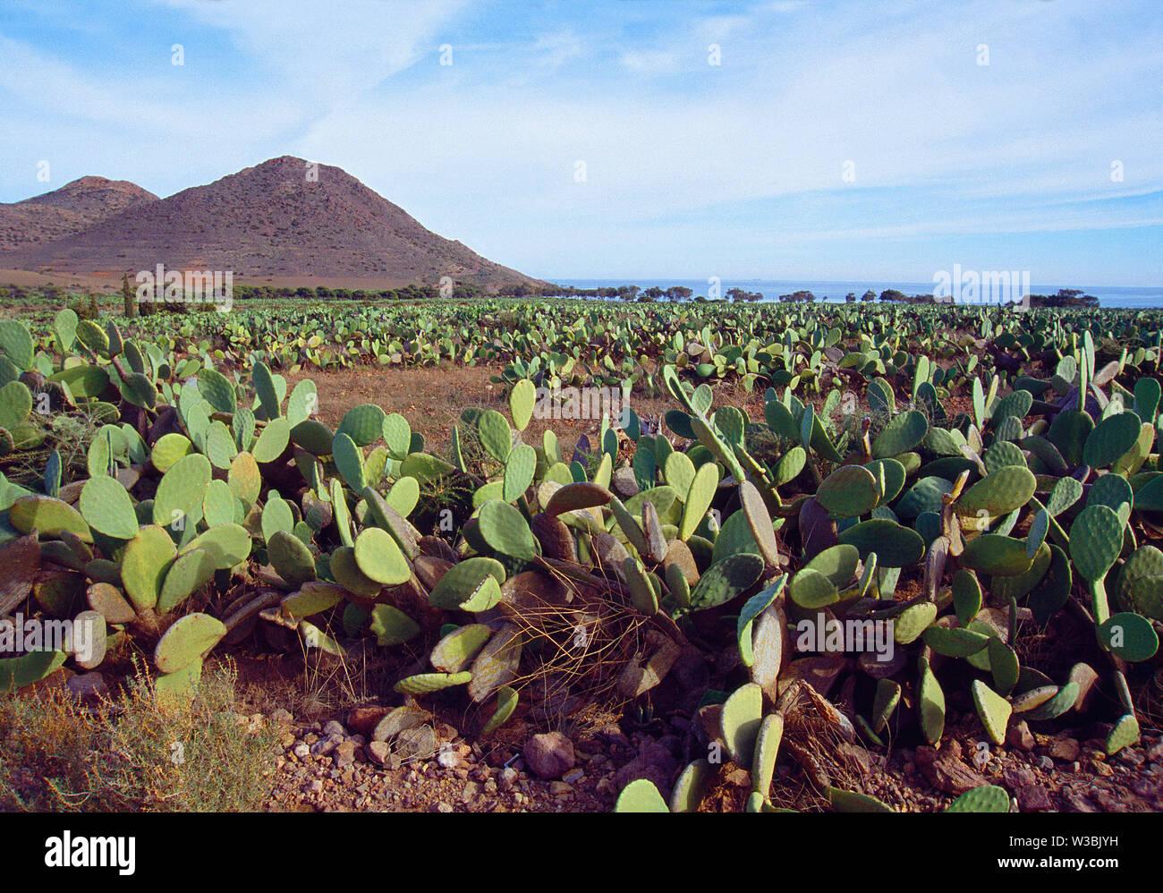 Prickly pears in Los Genoveses beach, Cabo de Gata-Nijar Nature Reserve, Almeria province, Andalucia, Spain. Stock Photo