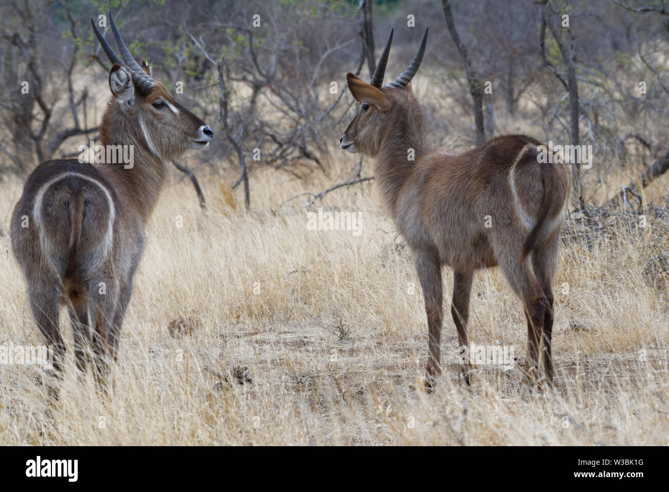 Common waterbucks (Kobus ellipsiprymnus), two adult males standing in the dry grassland, attentive, Kruger National Park, South Africa, Africa - Stock Image