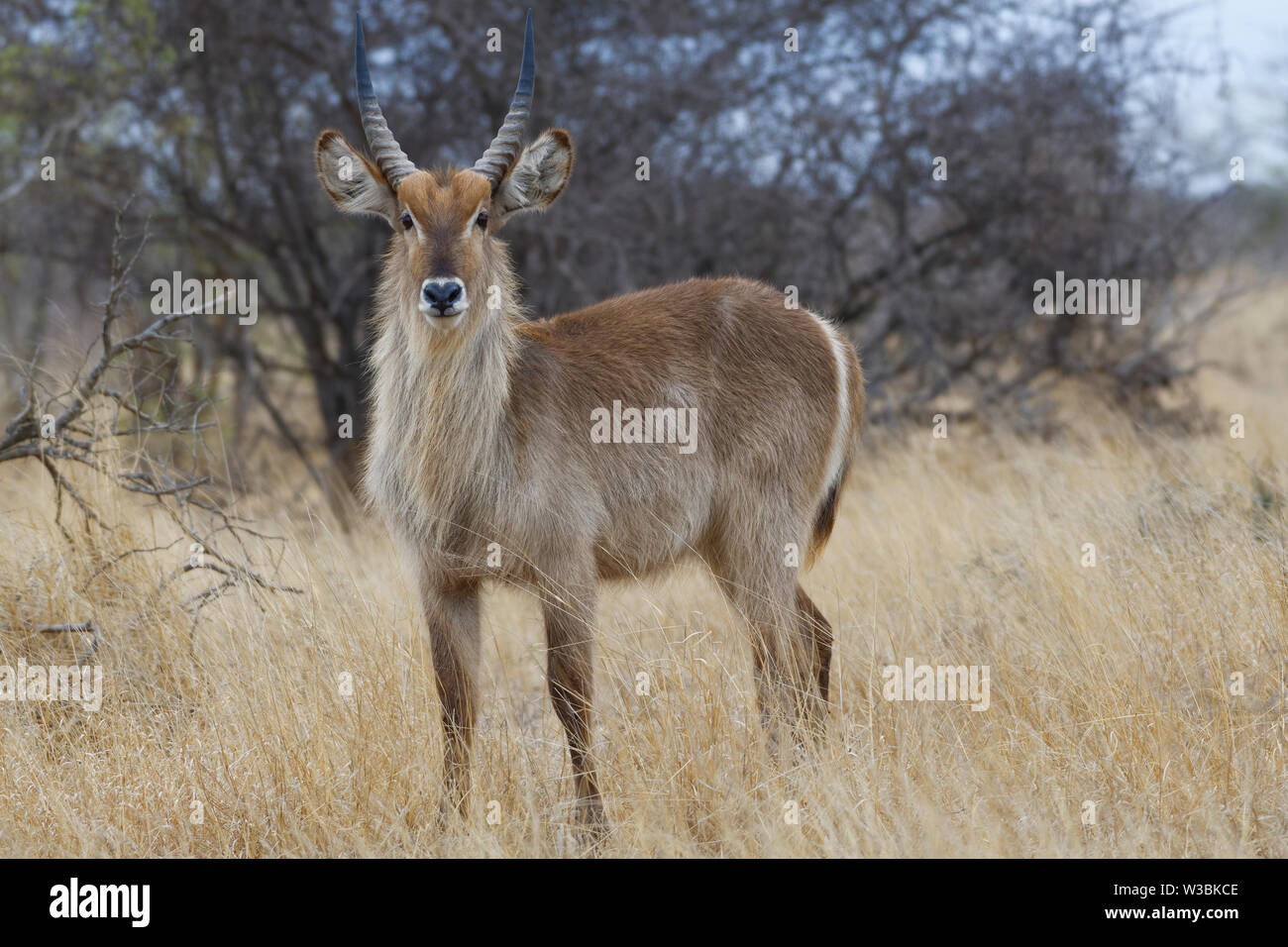Common waterbuck (Kobus ellipsiprymnus), adult male standing in the dry grassland, attentive, Kruger National Park, South Africa, Africa - Stock Image