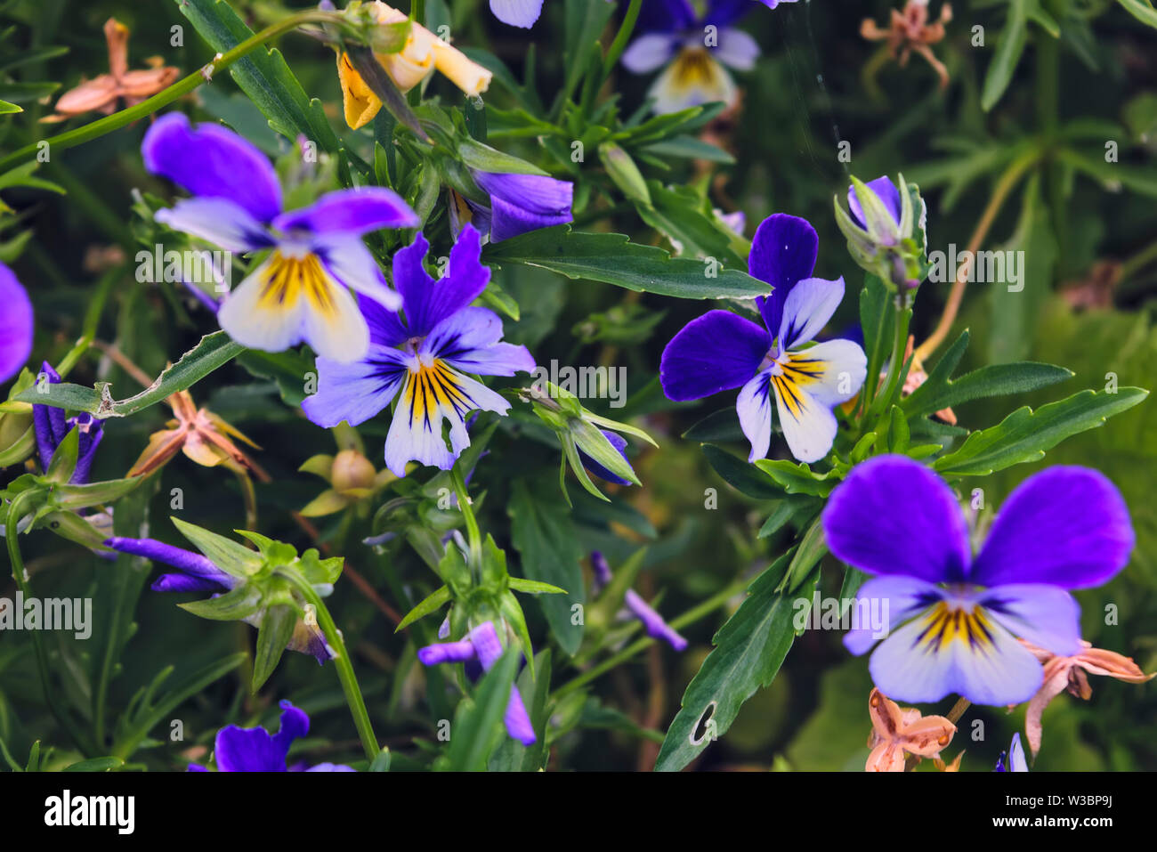 Summertime floral card with bright garden of tricolor viola flowers. - Stock Image