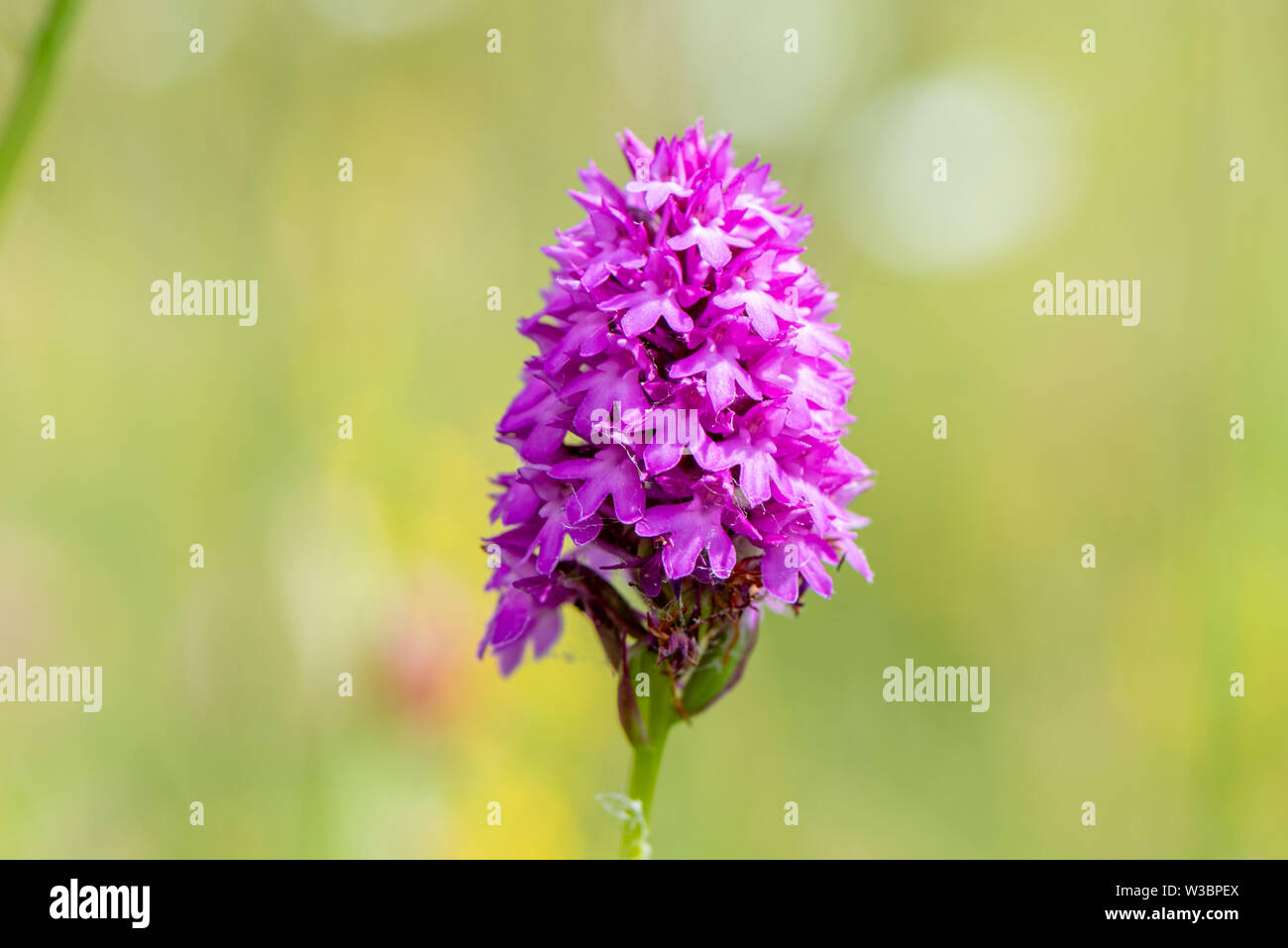 A pyramidal orchid at Noar Hill, near Selborne, Hampshire, UK Stock Photo