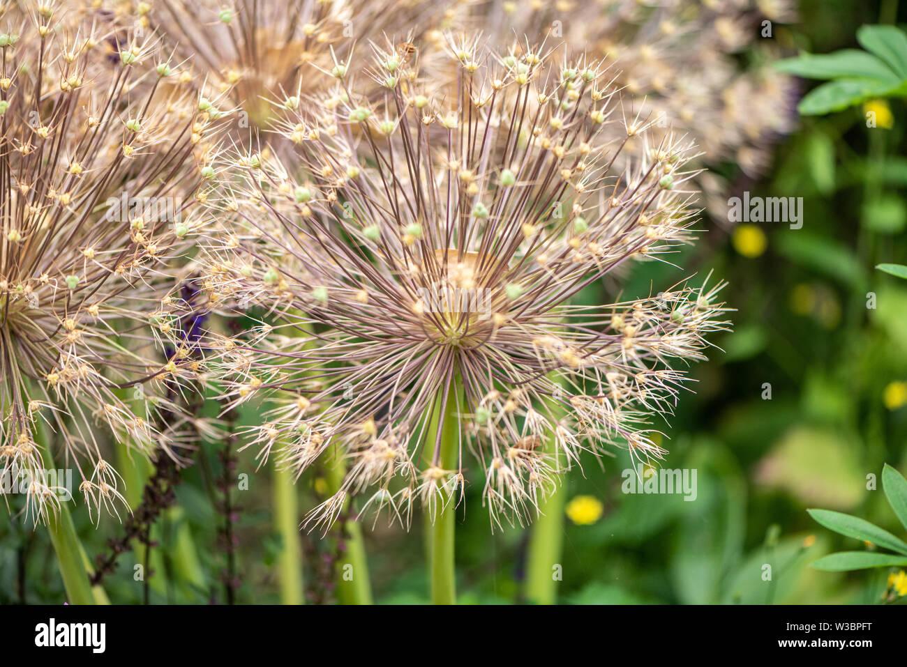 Allium christophii seed heads in garden in Burbage, Wiltshire, UK - Stock Image