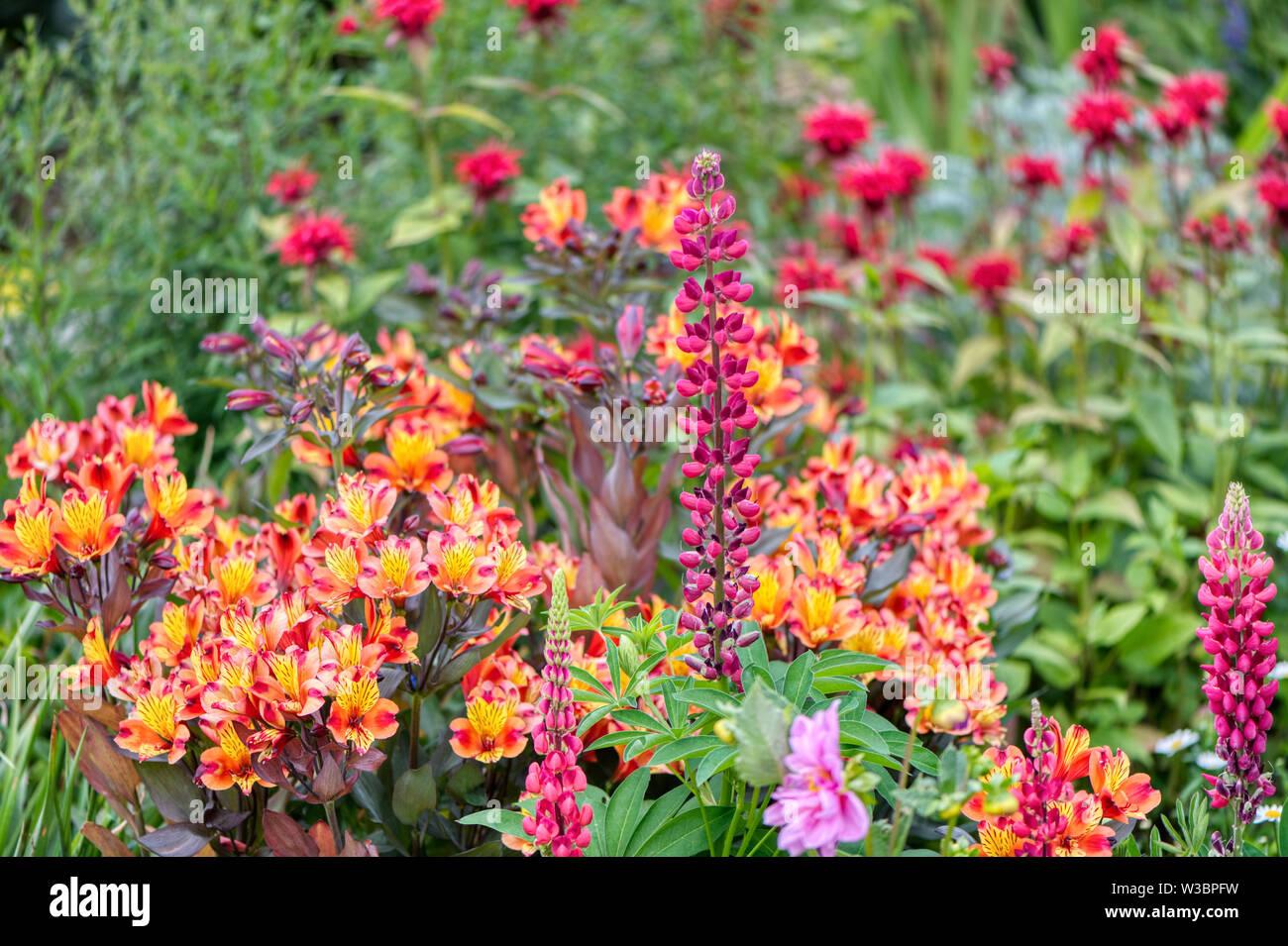 Alstroemeria, lupin and monarda in Garden in Burbage, Wiltshire, UK - Stock Image
