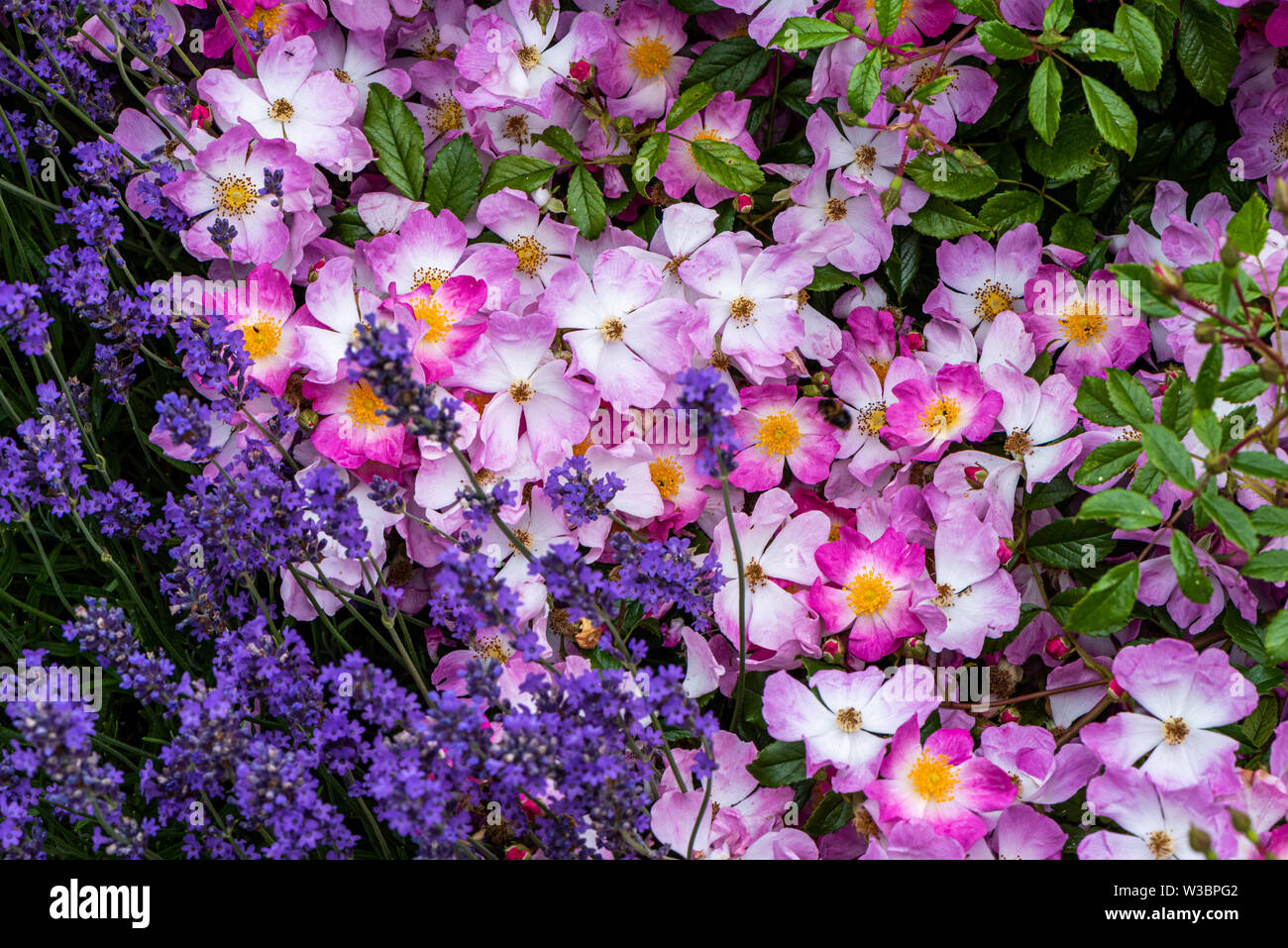 Lavender and roses in garden in Burbage, Wiltshire, UK - Stock Image