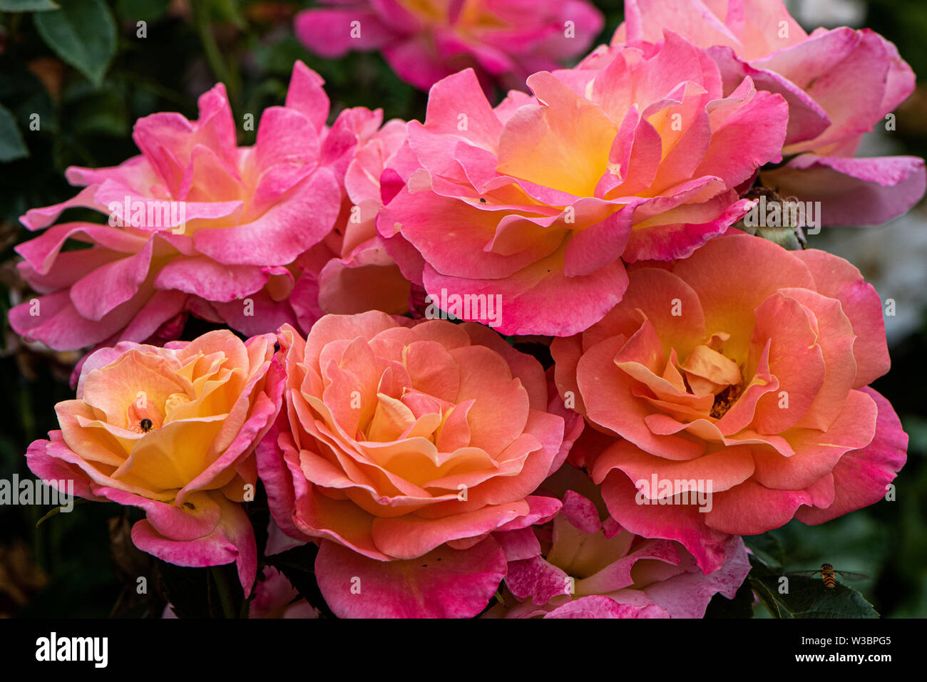 Roses in garden in Burbage, Wiltshire, UK - Stock Image