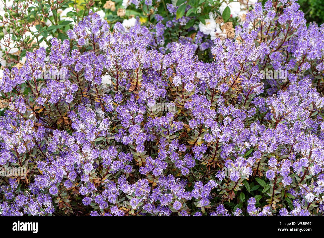 Hebe in garden in Burbage, Wiltshire, UK - Stock Image