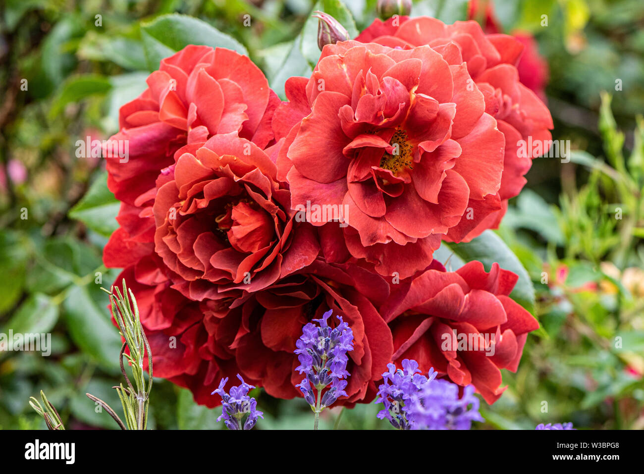 Red roses in garden in Burbage, Wiltshire, UK - Stock Image