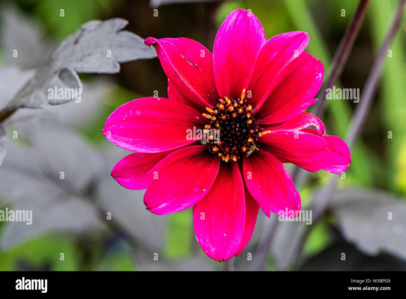 Red dahlia in garden in Burbage, Wiltshire, UK - Stock Image