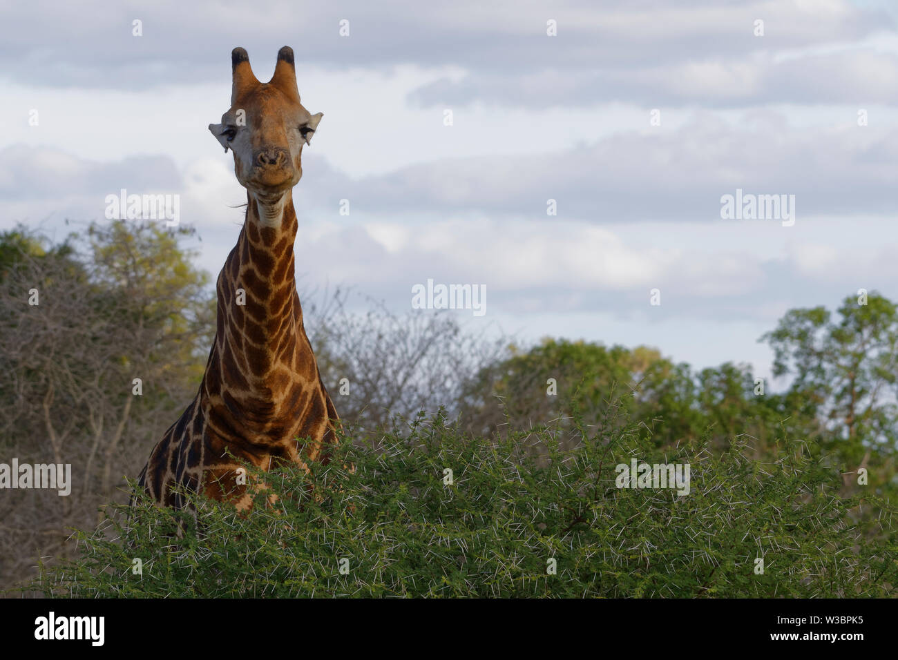 South African giraffe (Giraffa camelopardalis giraffa), adult, standing at the foot of a spiny shrub, curious, Kruger National Park, South Africa, Afr - Stock Image