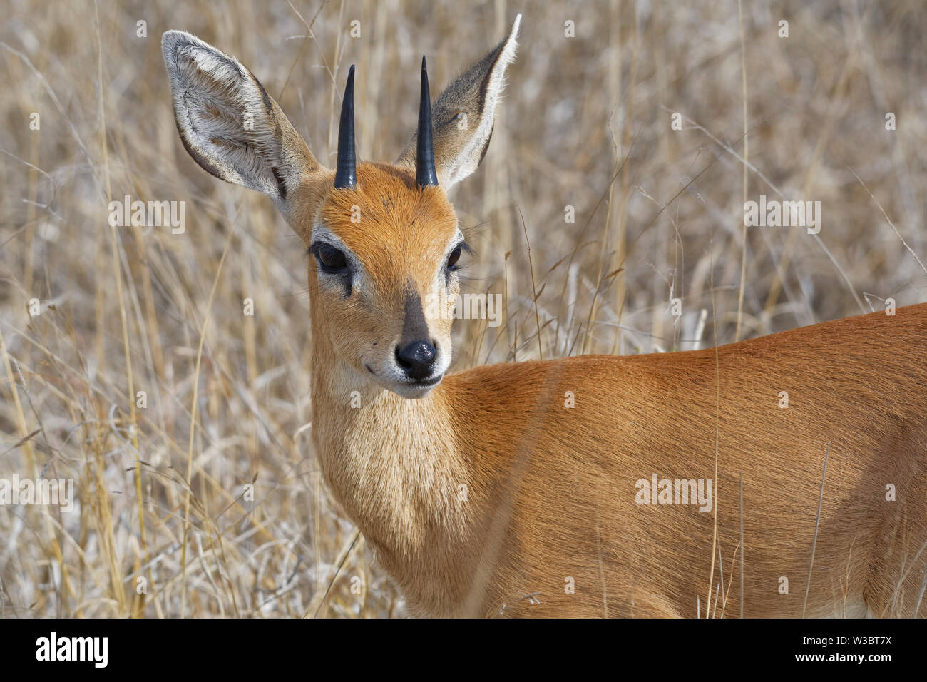 Steenbok (Raphicerus campestris), adult male standing in the dry grassland, attentive, animal portrait, Kruger National Park, South Africa, Africa - Stock Image