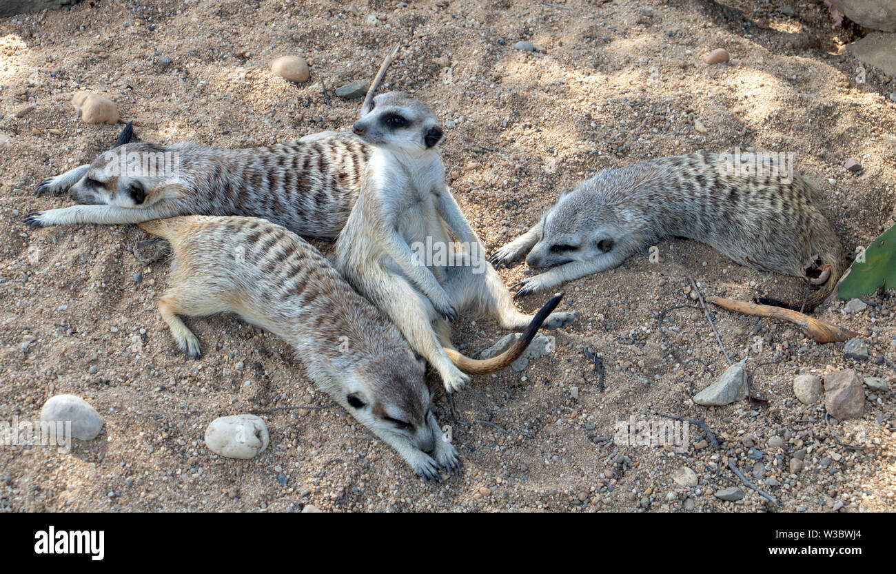 A family of Meerkat also known as Suricate (Suricata suricatta) relax on the sand. - Stock Image