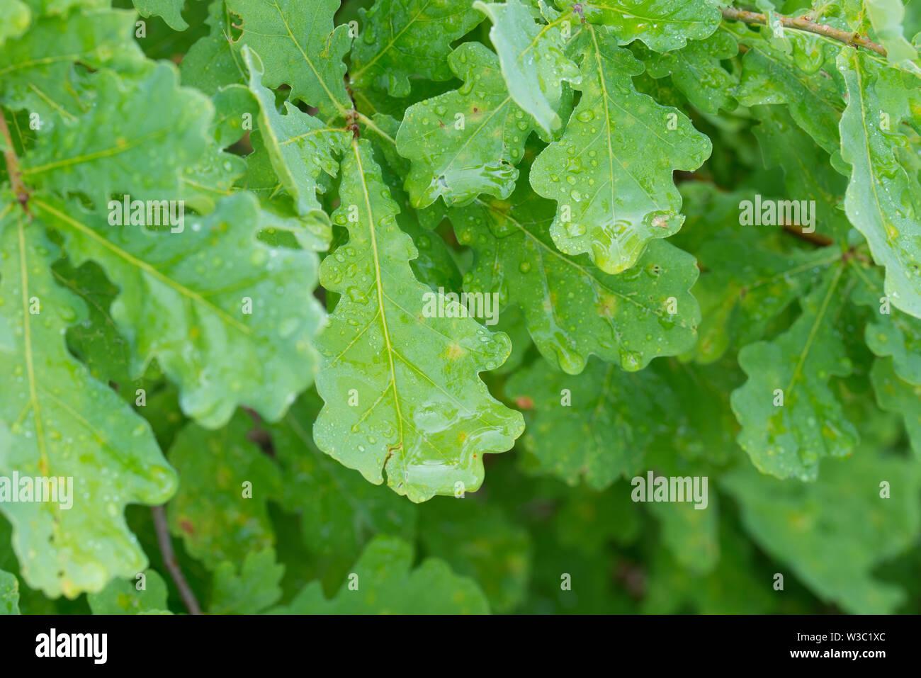 water drops on summer oak green leaves closeup - Stock Image