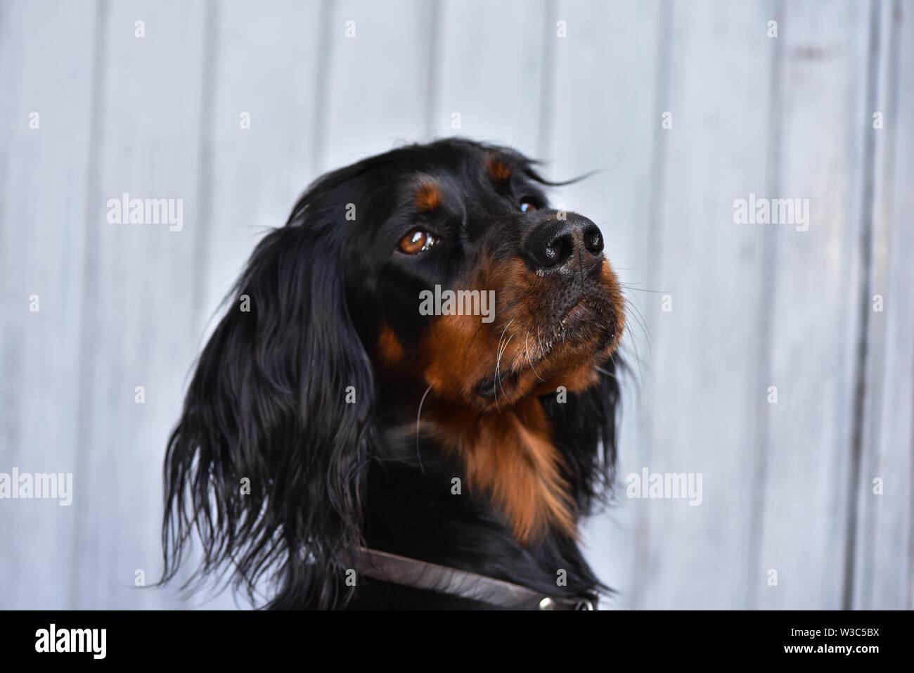 Portrait of a Gordon Setter Stock Photo