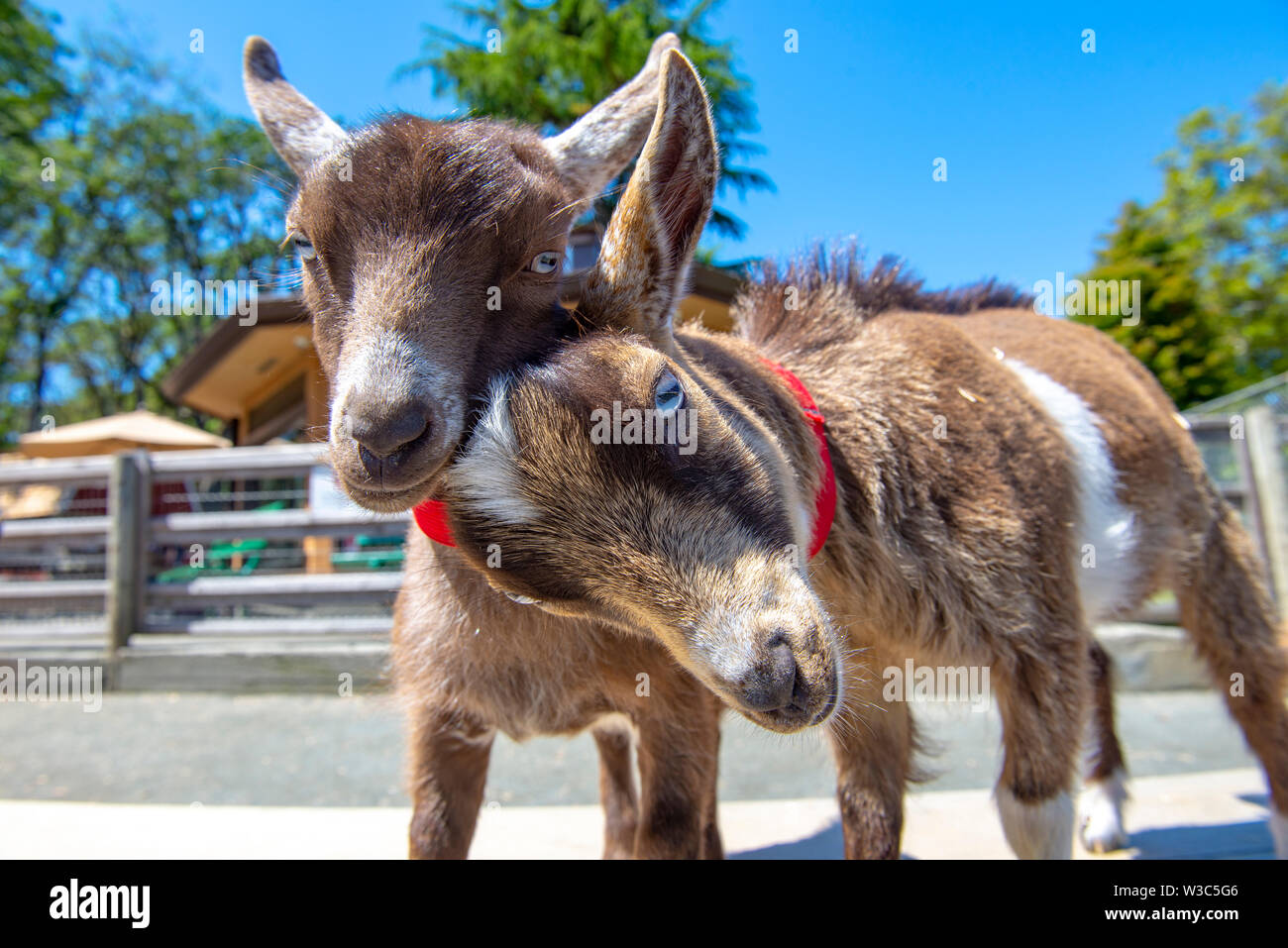 Adorable baby goats portrait taken at Victoria's Beacon Hill Park in Vancouver Island, Canada Stock Photo