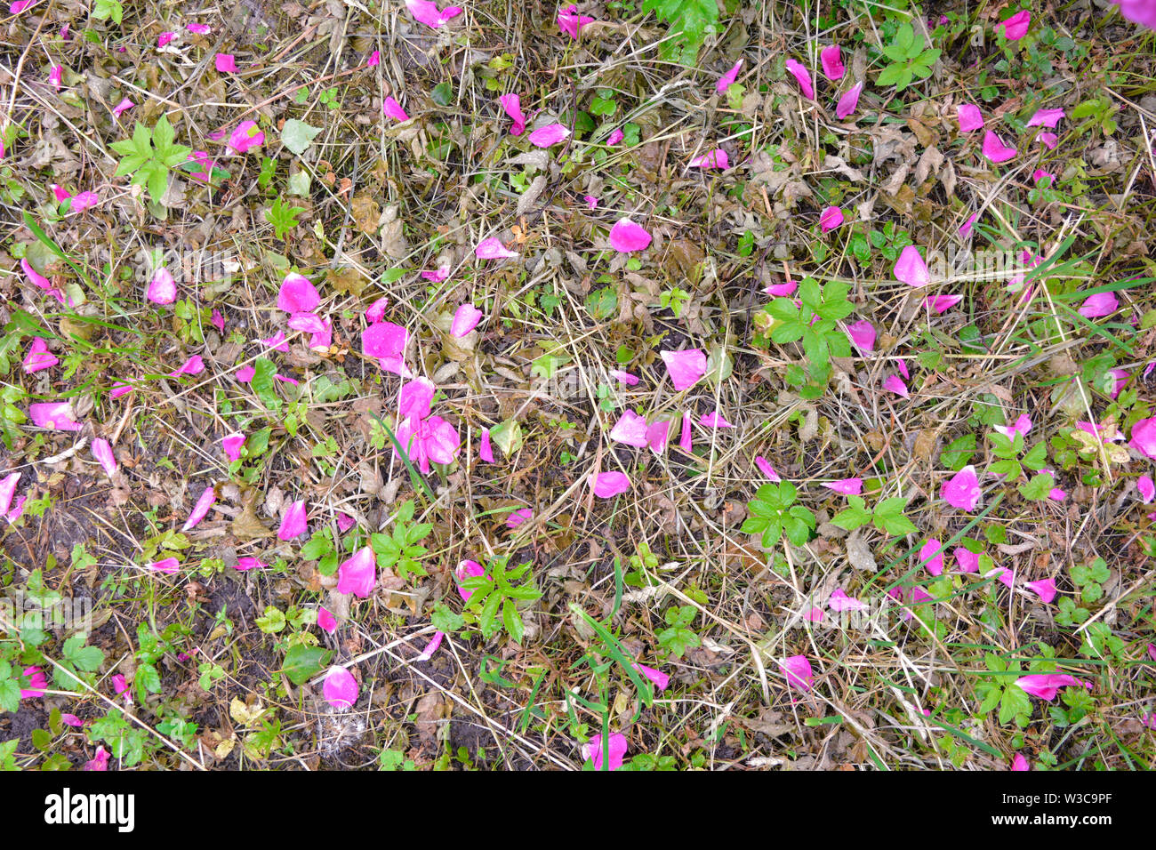 Fallen bright pink rosehip flowers on ground with rare green grass after rain. Wild field and scattered wet petals of briar pink flowers as background Stock Photo