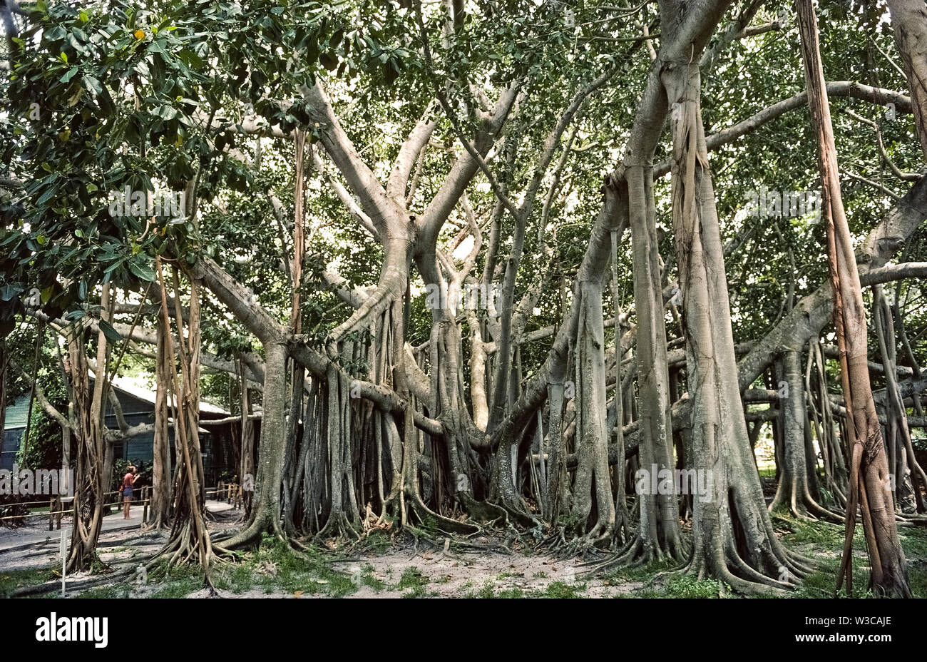 This enormous banyan tree (Ficus benghalensis) was only 4 feet (1.2 meters) tall when planted in 1925 by famed American inventor Thomas Alva Edison at his winter estate in Fort Myers, Florida, USA. Native to India and a member of the fig family, it was the first banyan tree planted in the continental United States. Over the years aerial roots have grown down from its branches to expand the area covered by the tree to more than 1 acre (0.41 hectares). The banyan is a feature of vast botanical gardens that are part of Edison's 1880s winter home and laboratory open year-round to visitors. - Stock Image