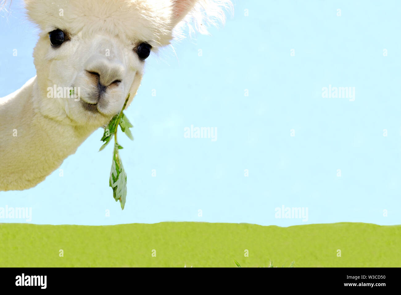Portrait of beautiful white curious alpaca watching into the camera on sky blue background. Stock Photo