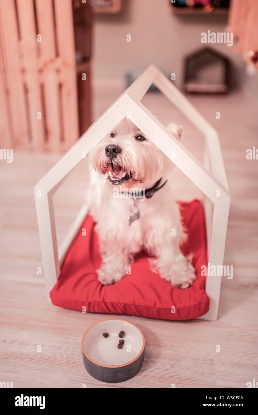 Fluffy dog. Cute dark-eyed fluffy dog sitting in little wooden house at home after eating - Stock Image