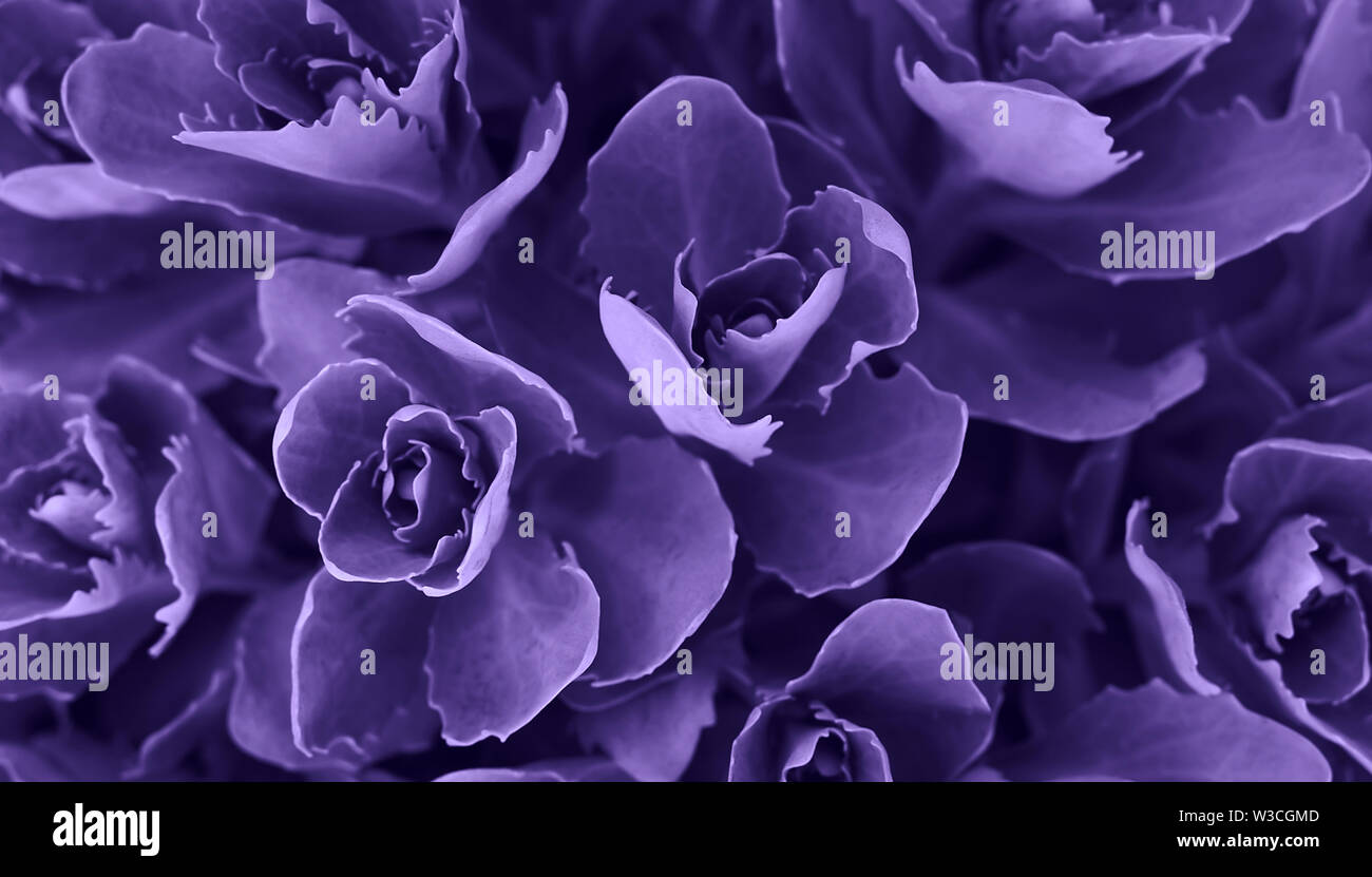 Perfect natural succulent pattern background. Ultra Violet dark and moody backdrop for your design. Copy space. Stock Photo