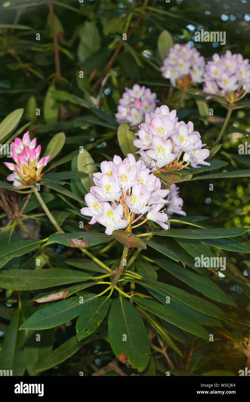 Great Laurel, Rhododendron maximum - Stock Image