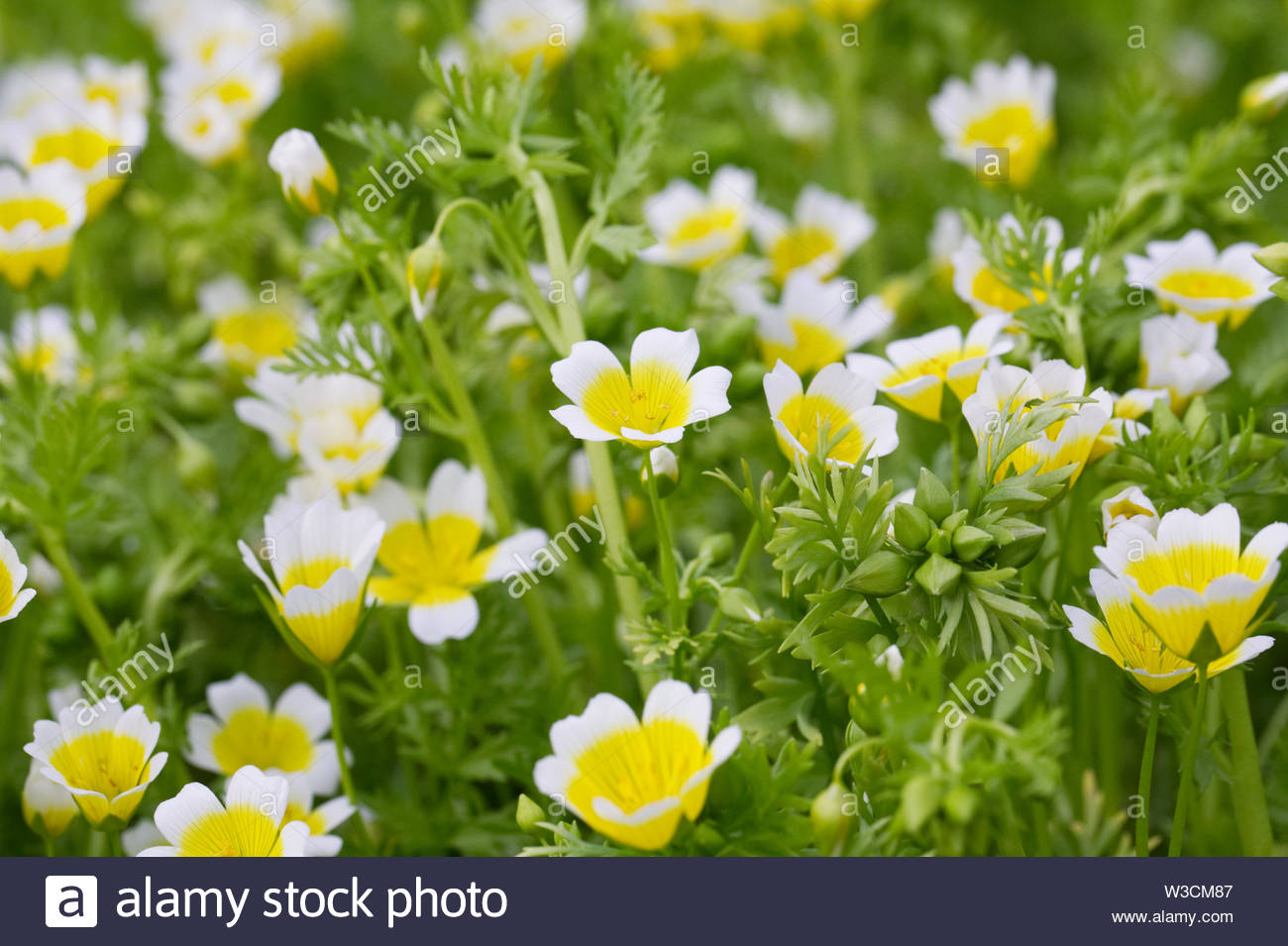 Limnanthes douglasii in the garden. Poached egg plant. - Stock Image