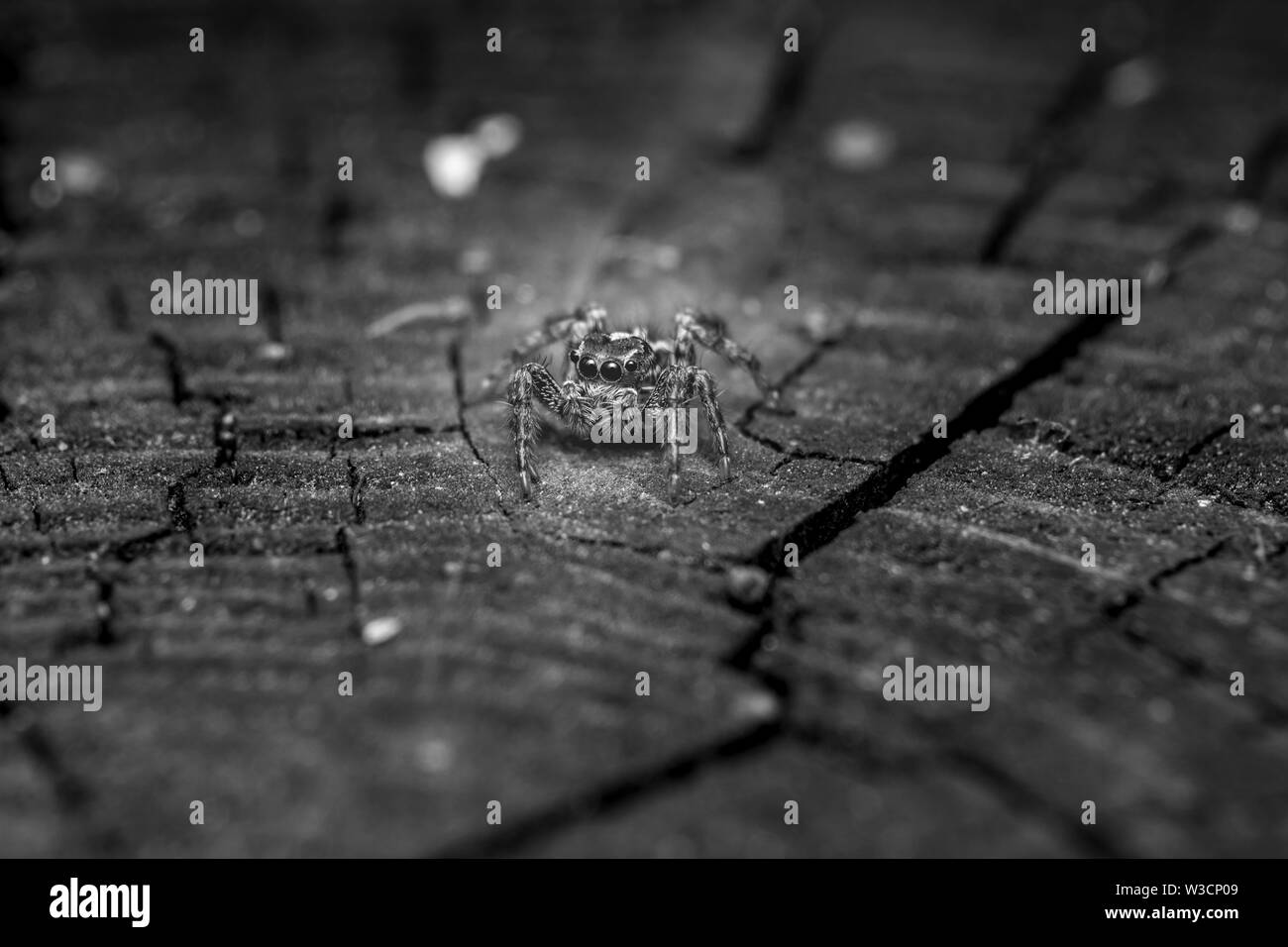 beautiful macro photo of a small jumping spider Stock Photo