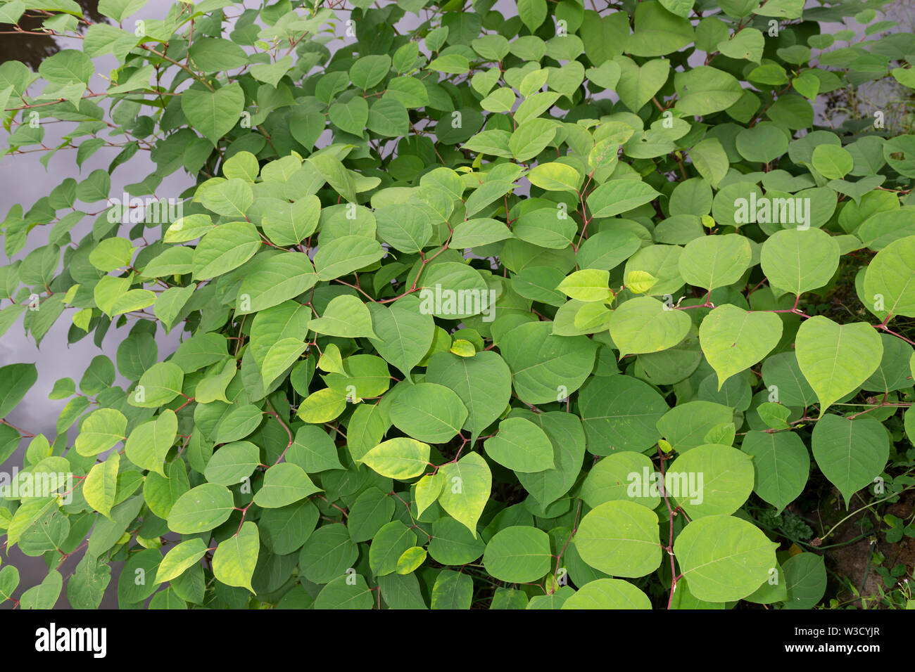 The invasive plant specifies Japanese Knotweed (Reynoutria japonica, Fallopia japonica or Polygonum cuspidatum) grows beside a river embankment. Stock Photo