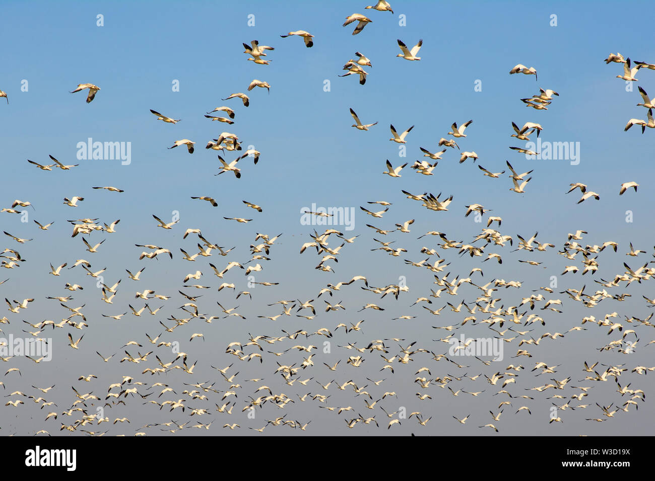 Massive flock of migrating snow geese flying. - Stock Image