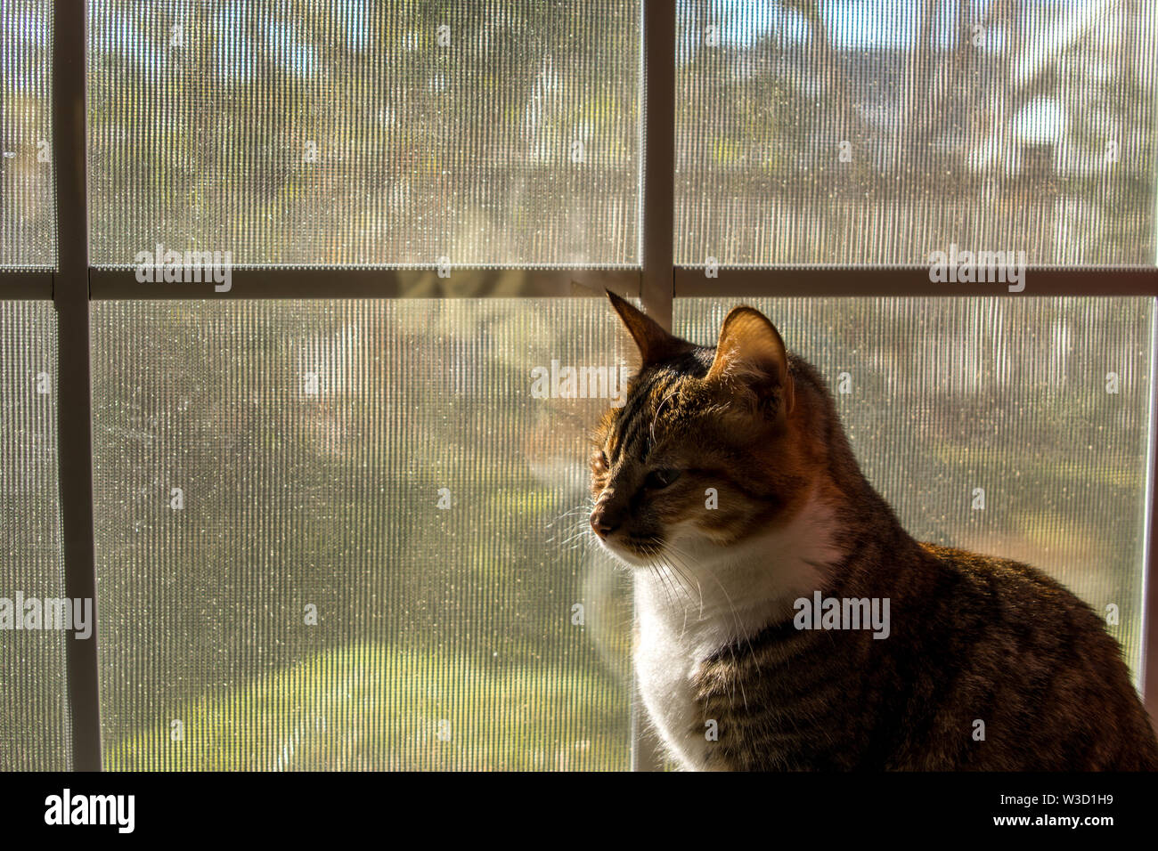 An indoor cat looking out window. - Stock Image