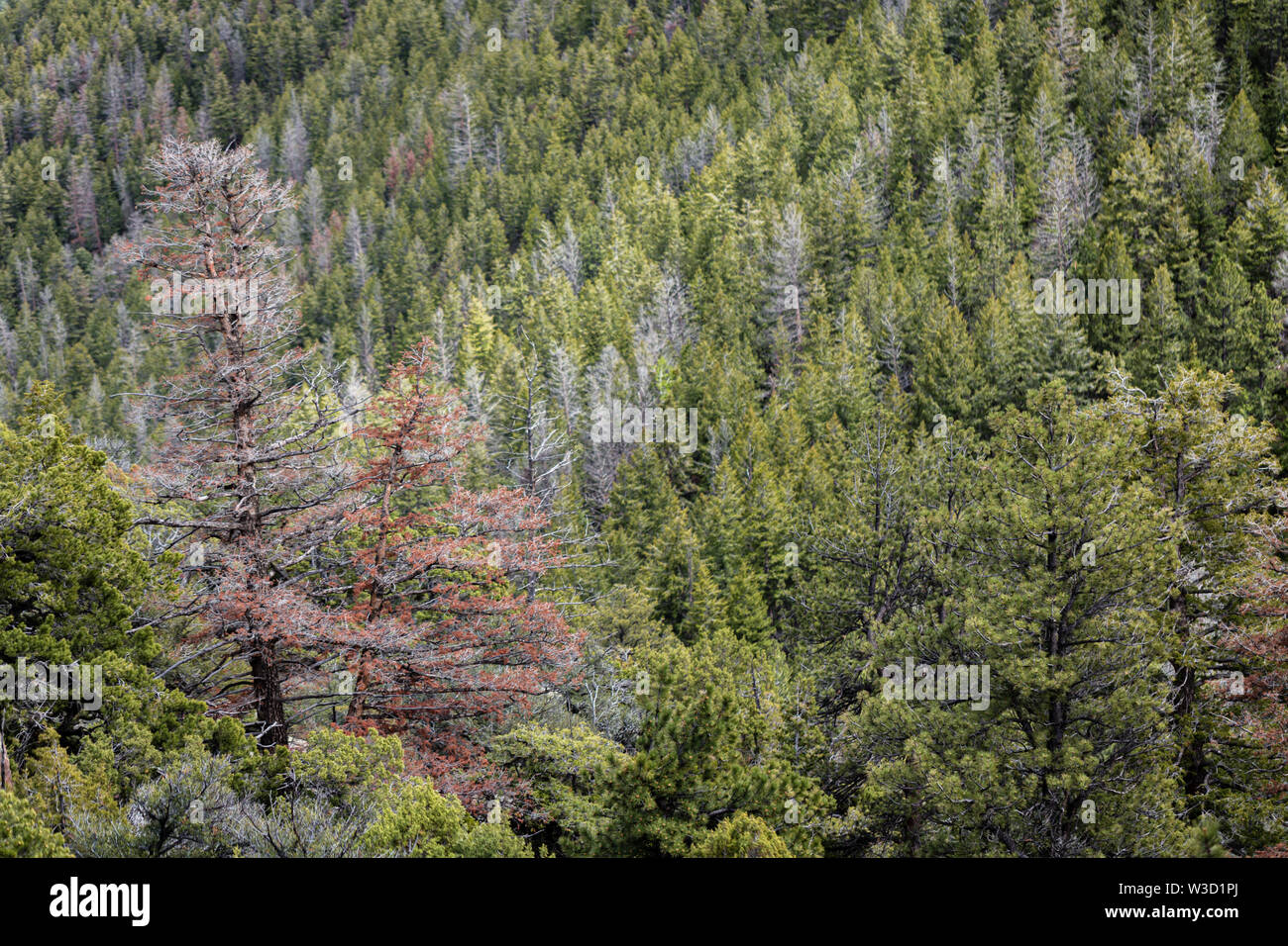 Bark beetle kills conifer trees in the Uinta Mountains of Utah. Stock Photo