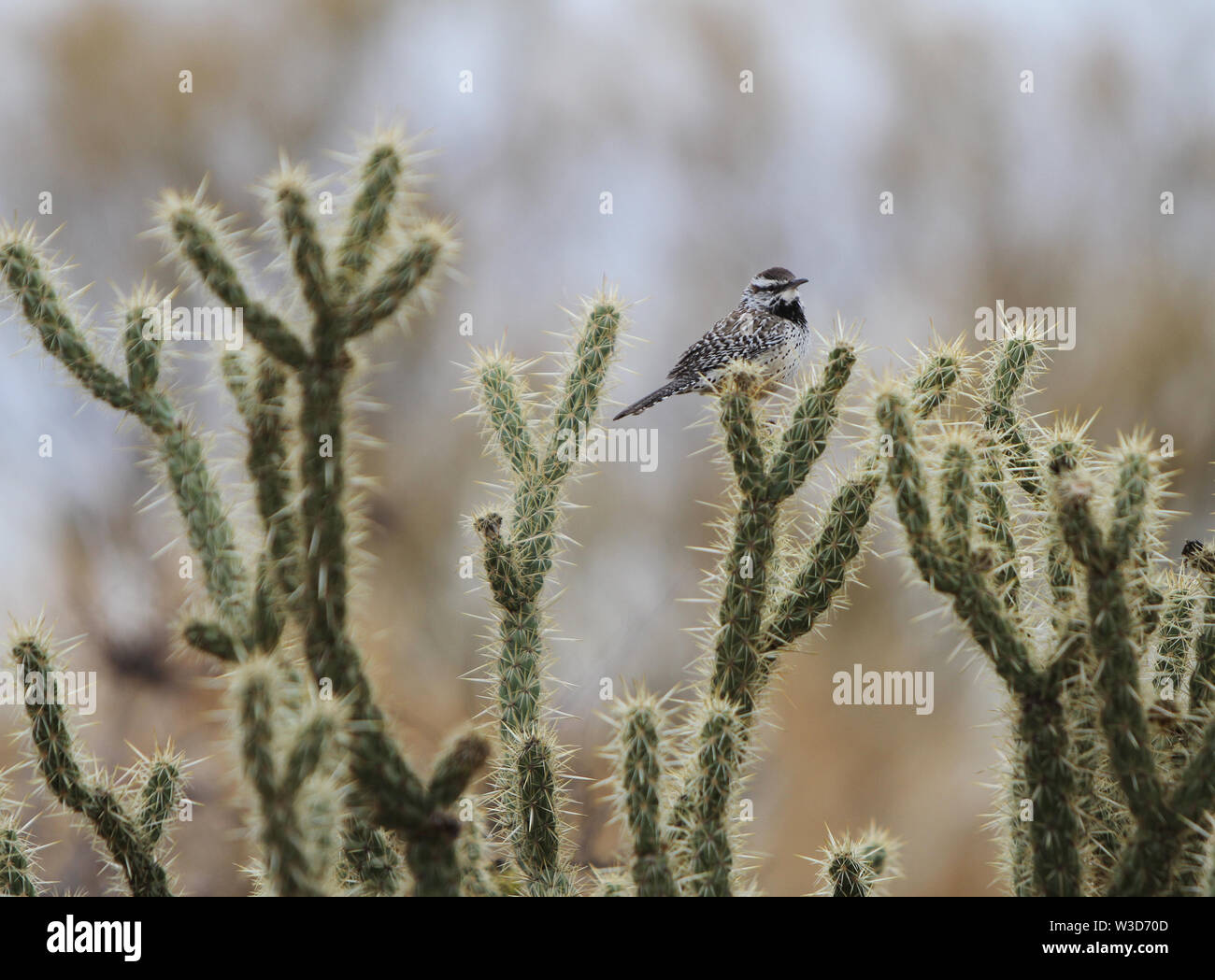Cactus Wren Bird sits on Cholla Cactus in Arizona. Stock Photo